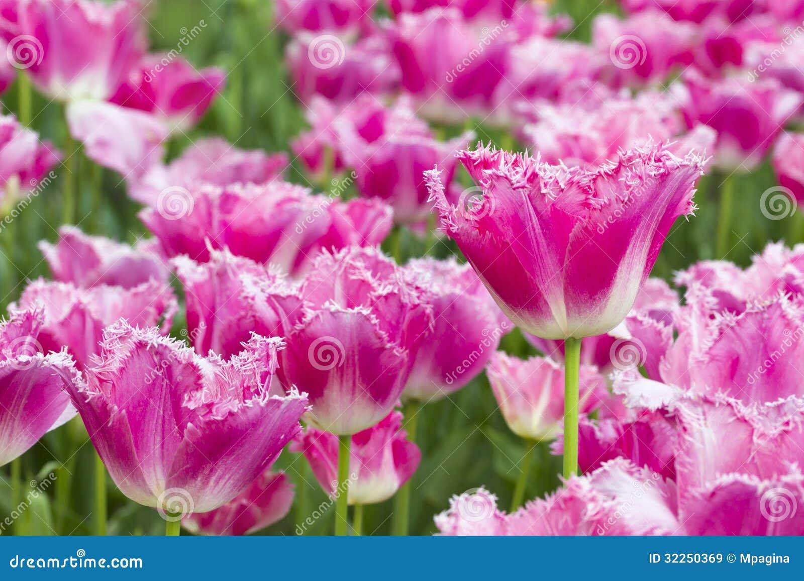 Tulips Stock Image Image Of Beautiful Color Rare Flora 32250369