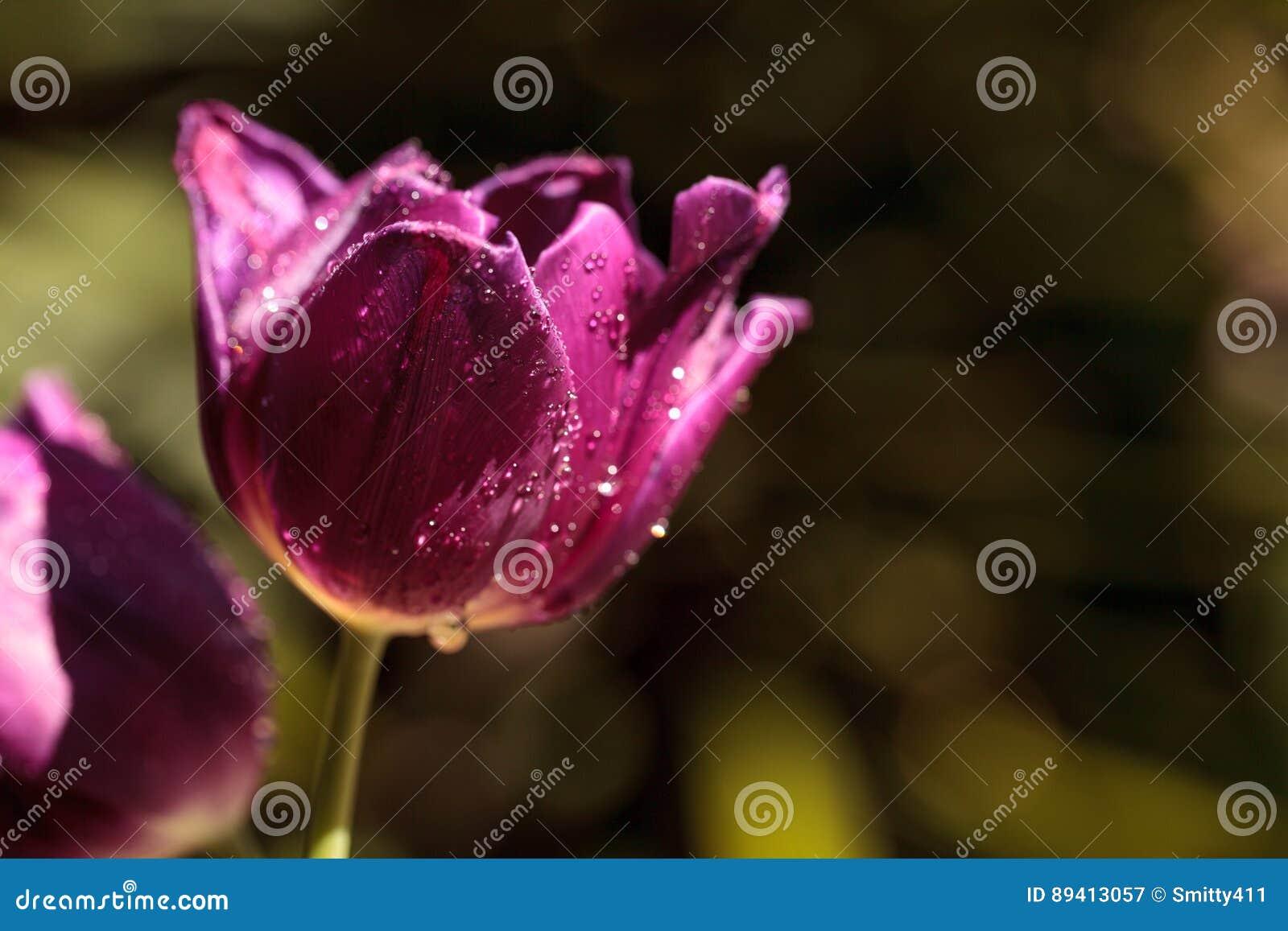 Tulips roxos escuros