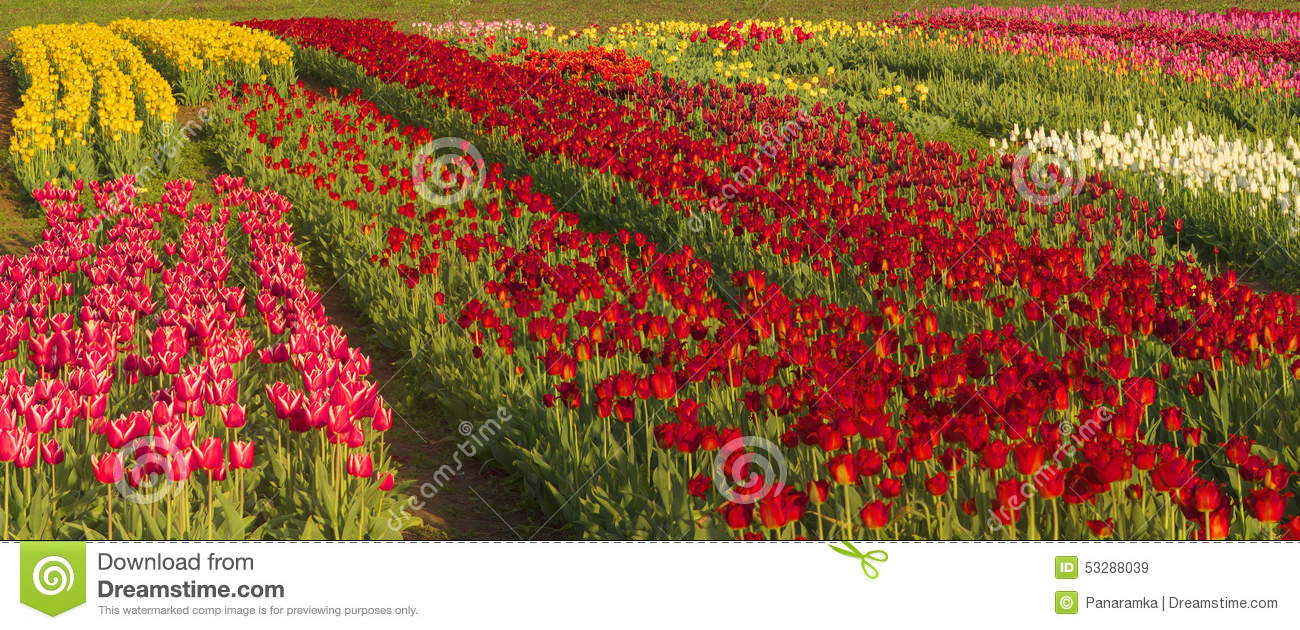 Tulips spring flowers stock image image of canada 53288039 download comp mightylinksfo