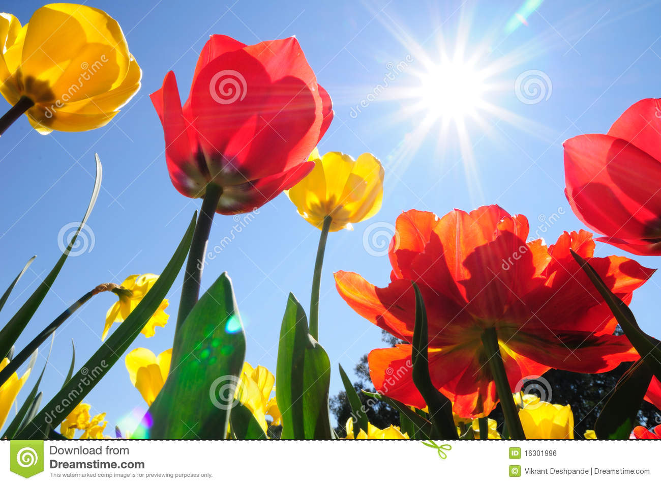 Download Tulips in Sunshine stock photo. Image of spring, flowerbed - 16301996