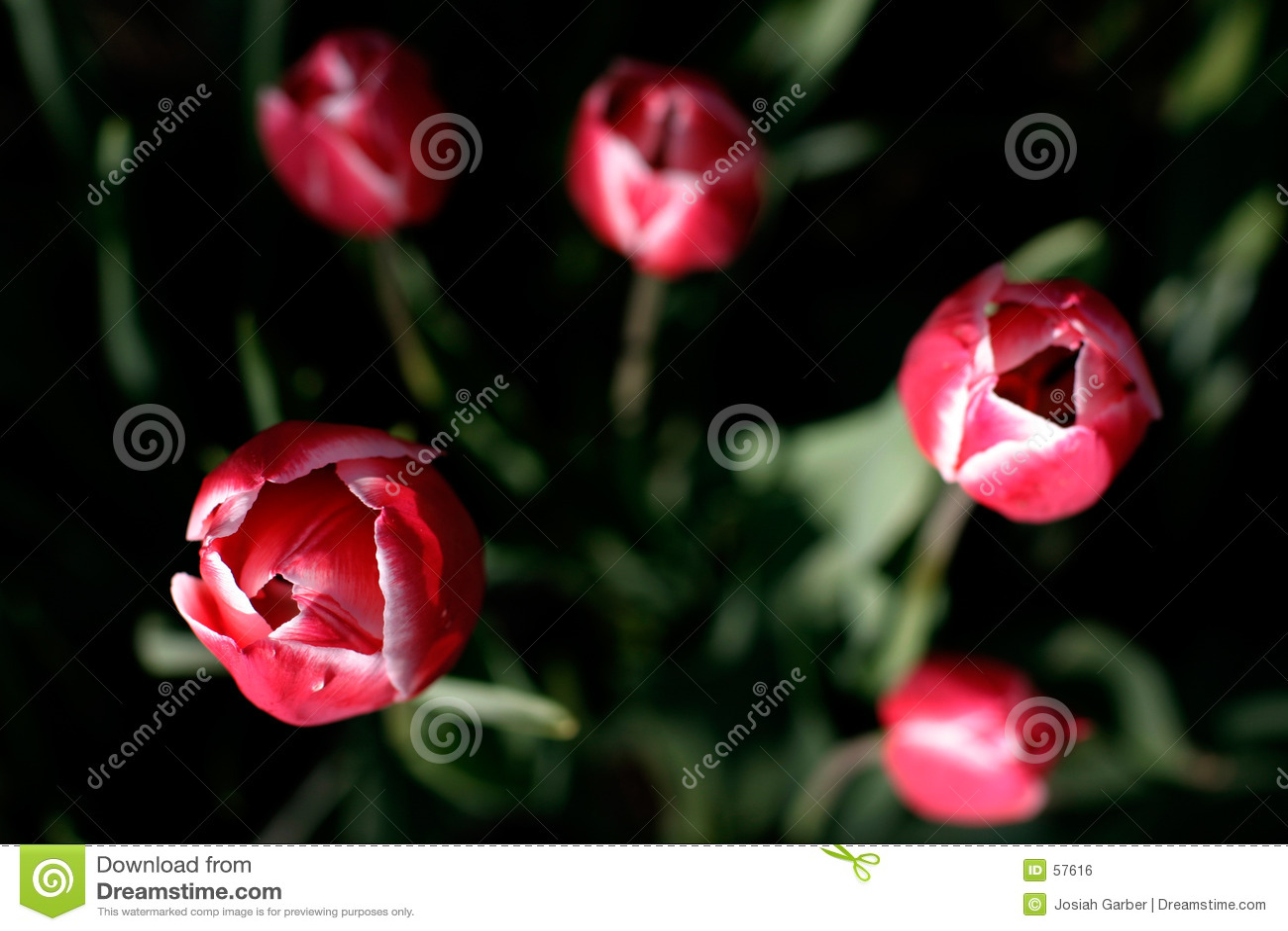 Tulips vermelhos