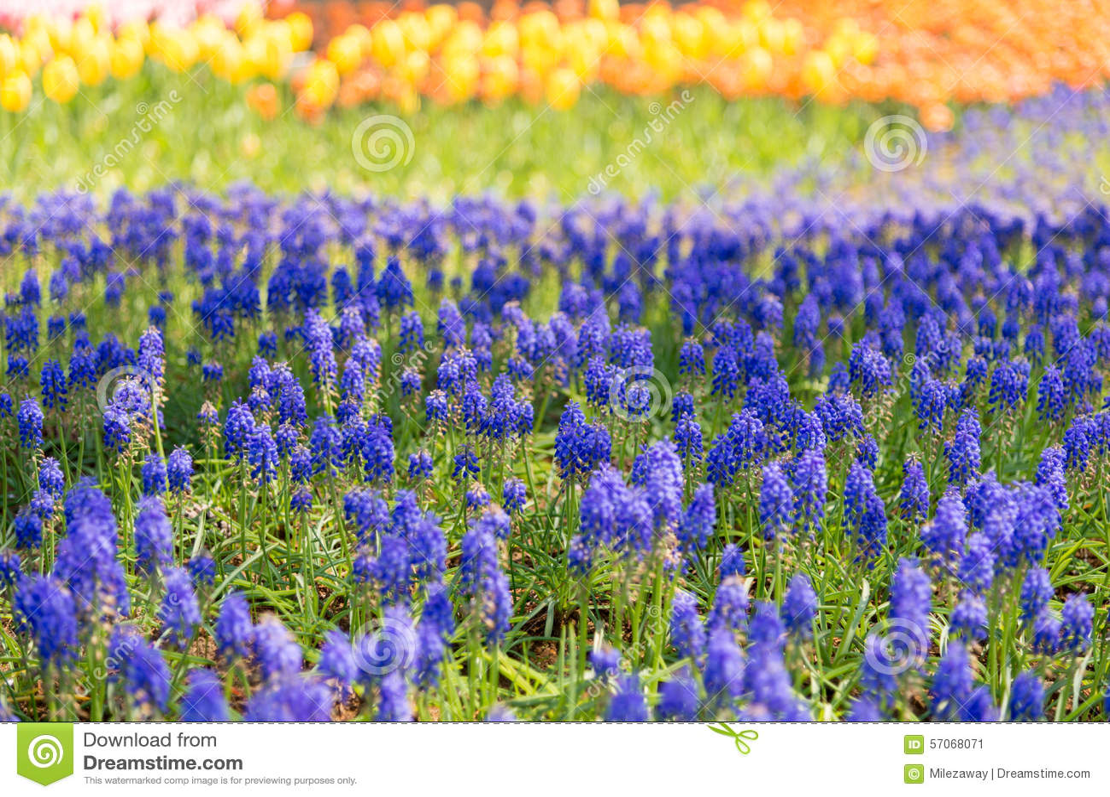 Tulp, Bloemgebied