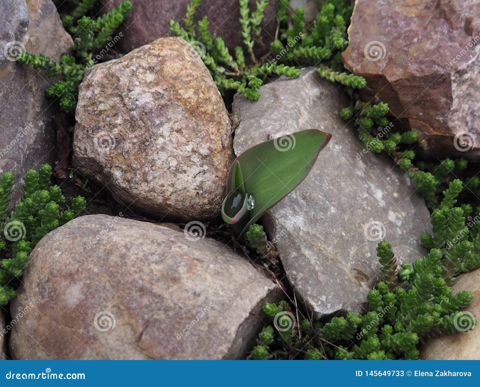Tulp met een daling van water en decoratief mos in de stenen