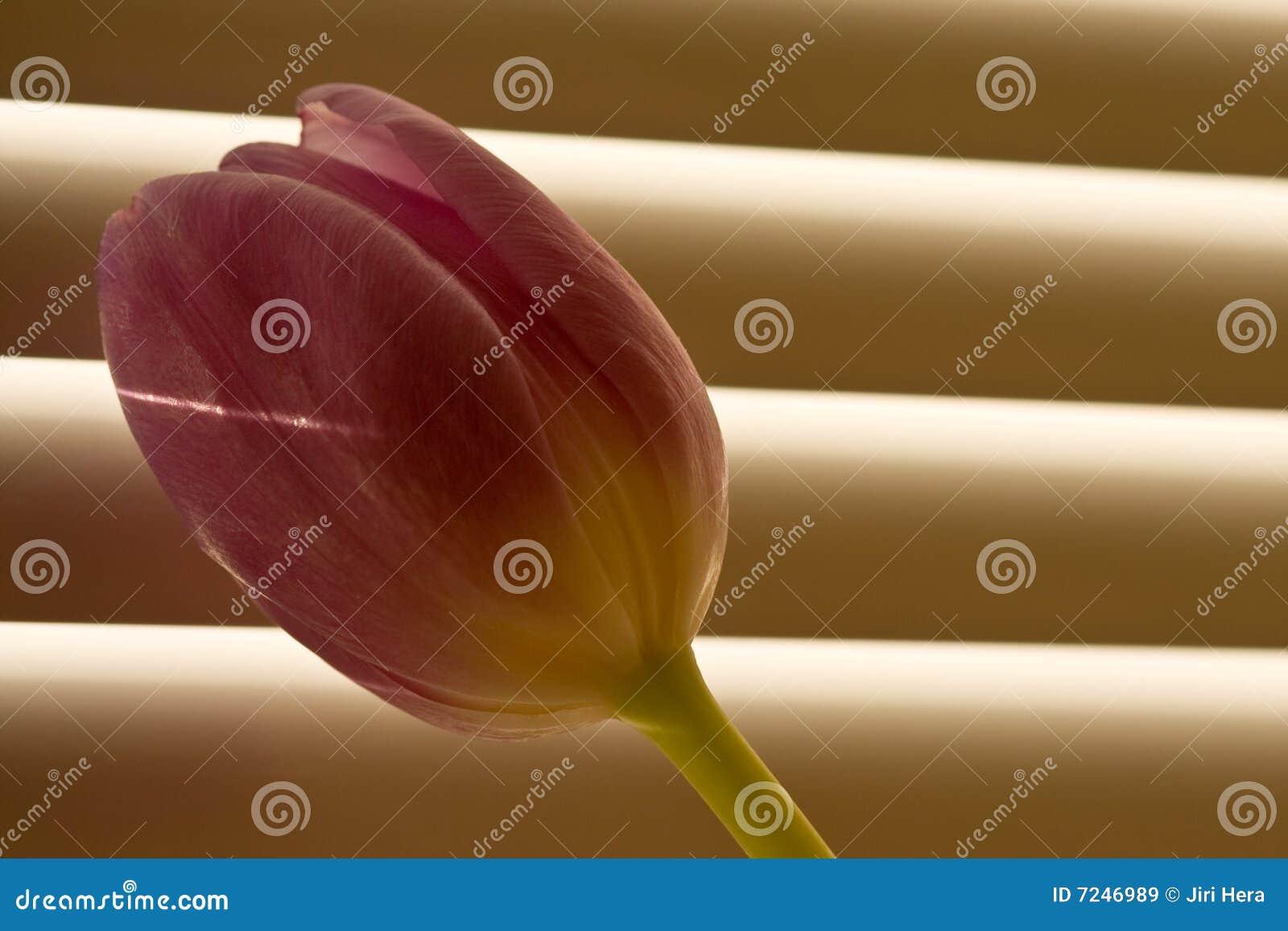 Tulp voor venster-blind