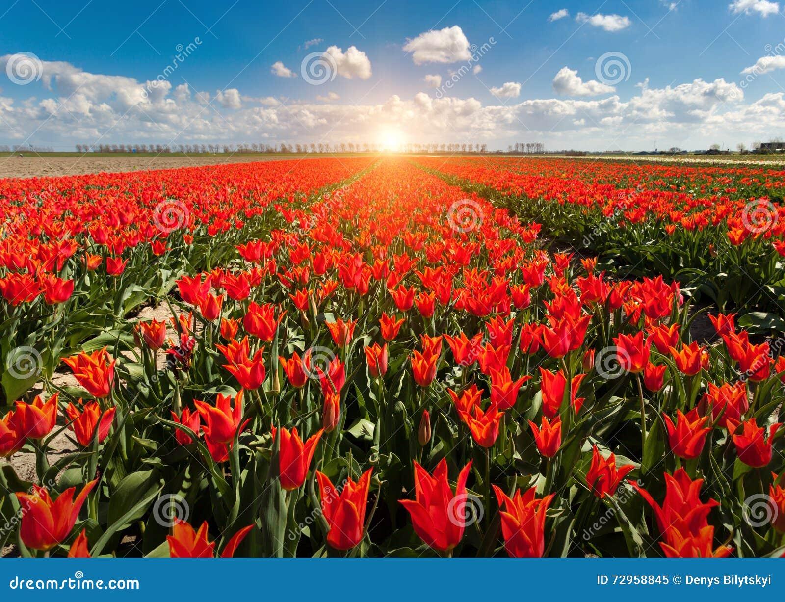Tulpan Härliga färgrika röda blommor i morgonen i våren, vibrerande blom- bakgrund, blommafält i Nederländerna