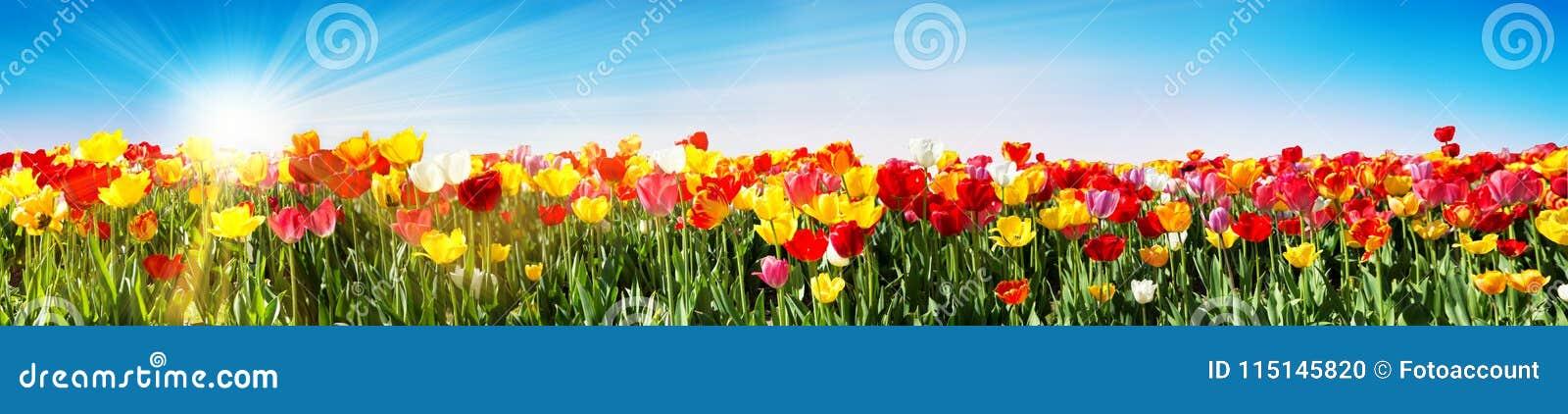 Tulpan i våren - panorama- Tulip Field - olika variationer