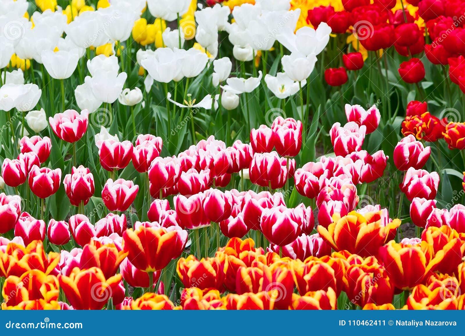 Tulpanblomsterrabatt, rött som är gul, vit