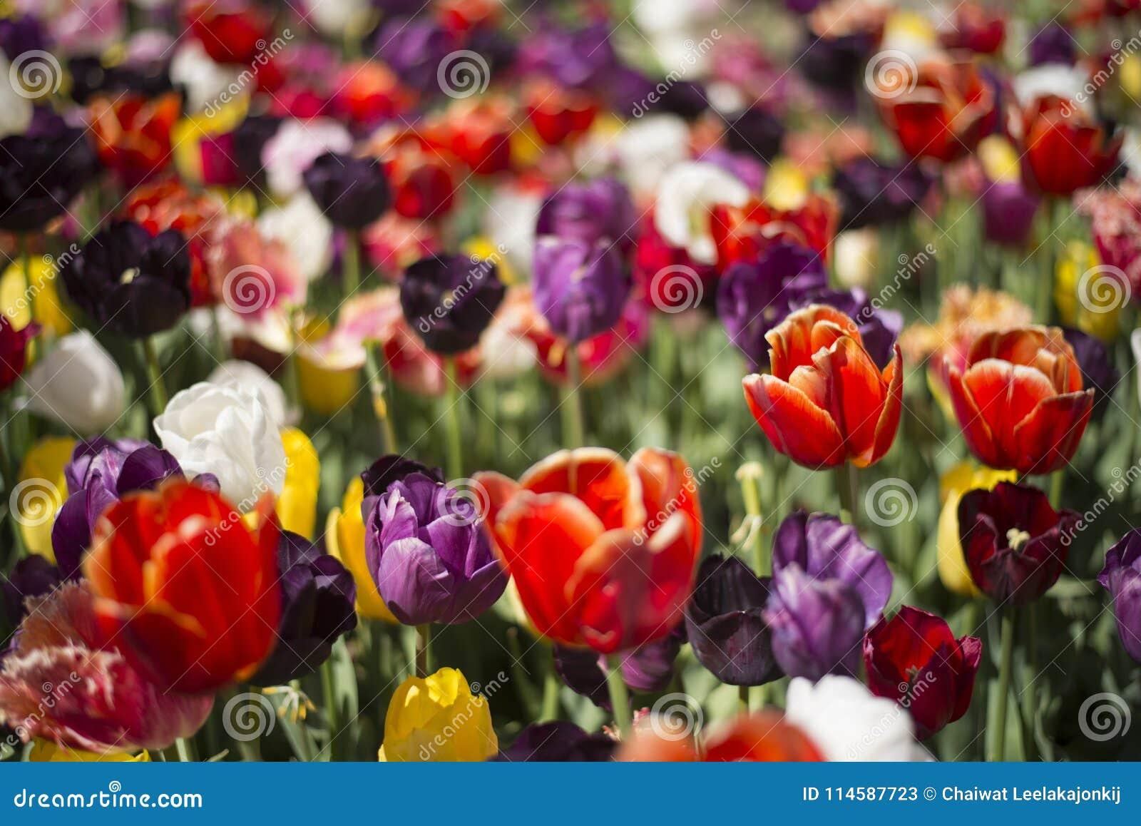 Tulpanfestival i Australien under blommande säsong