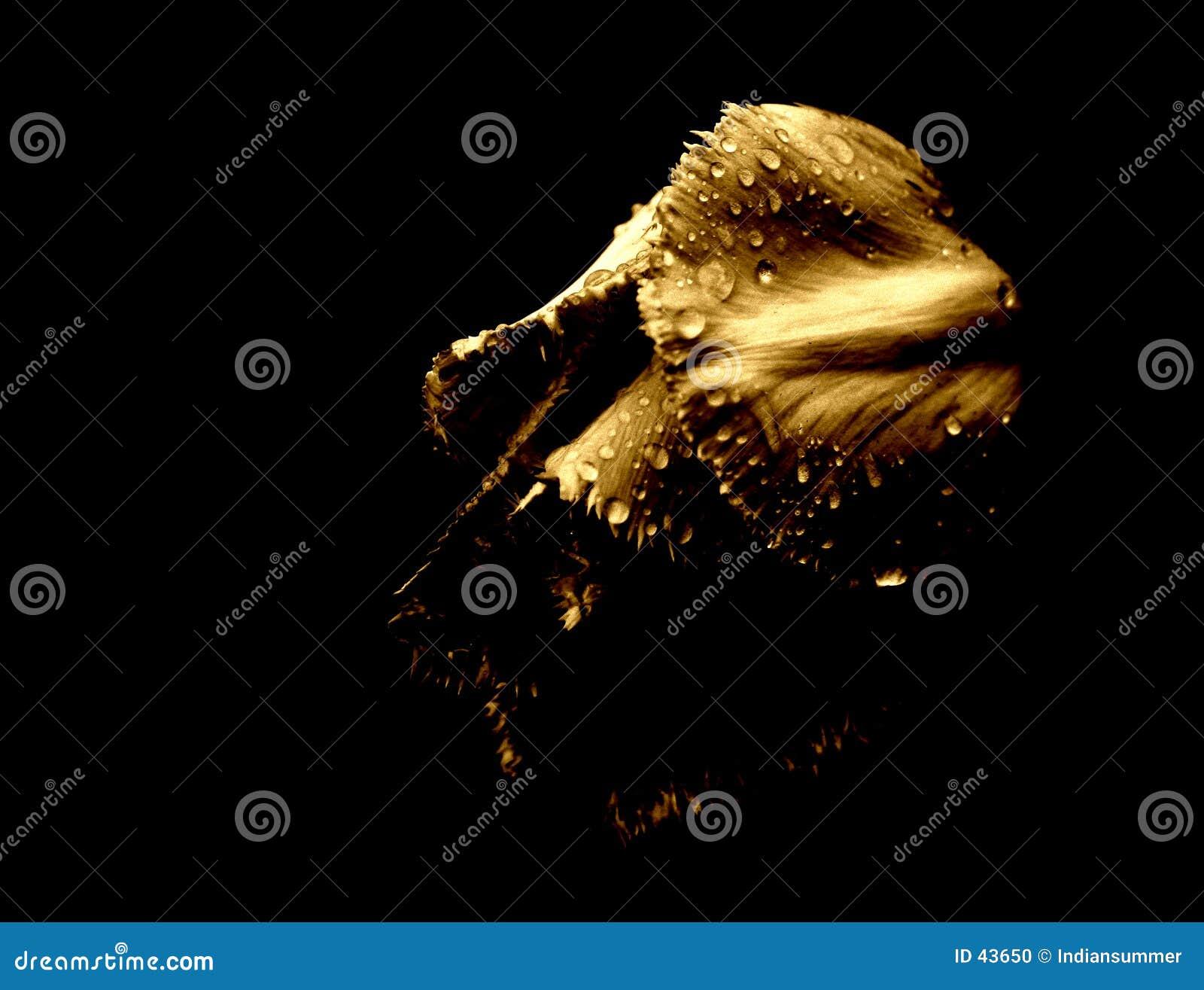 Tulpe im Regen [4]