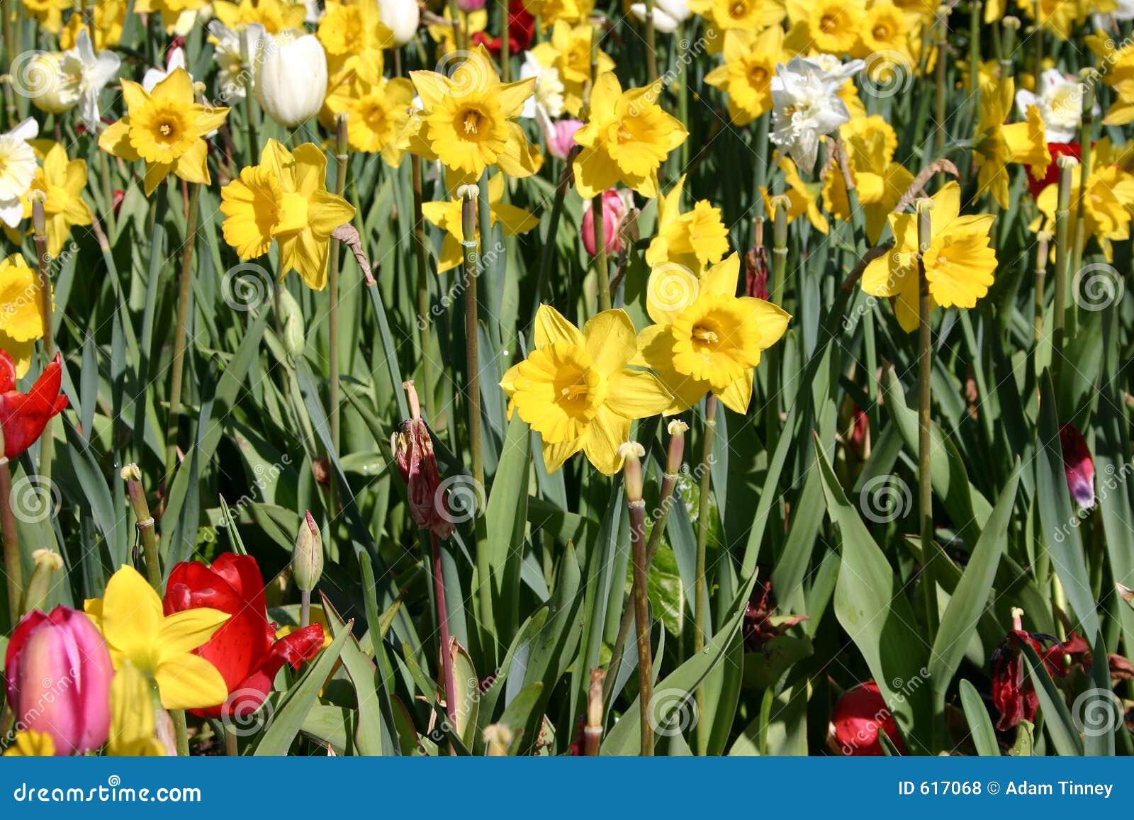 Tulpen en Gele narcissen