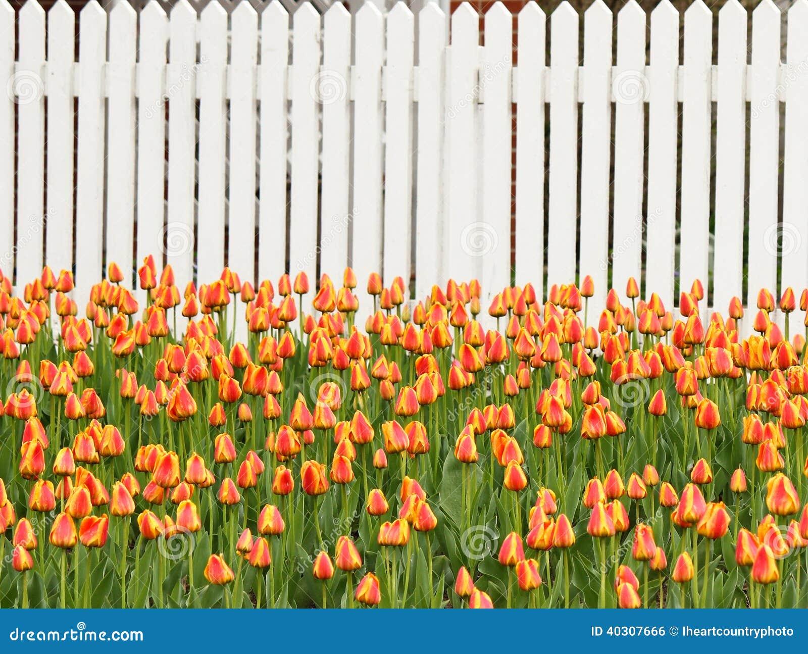 Tulpen en Omheining