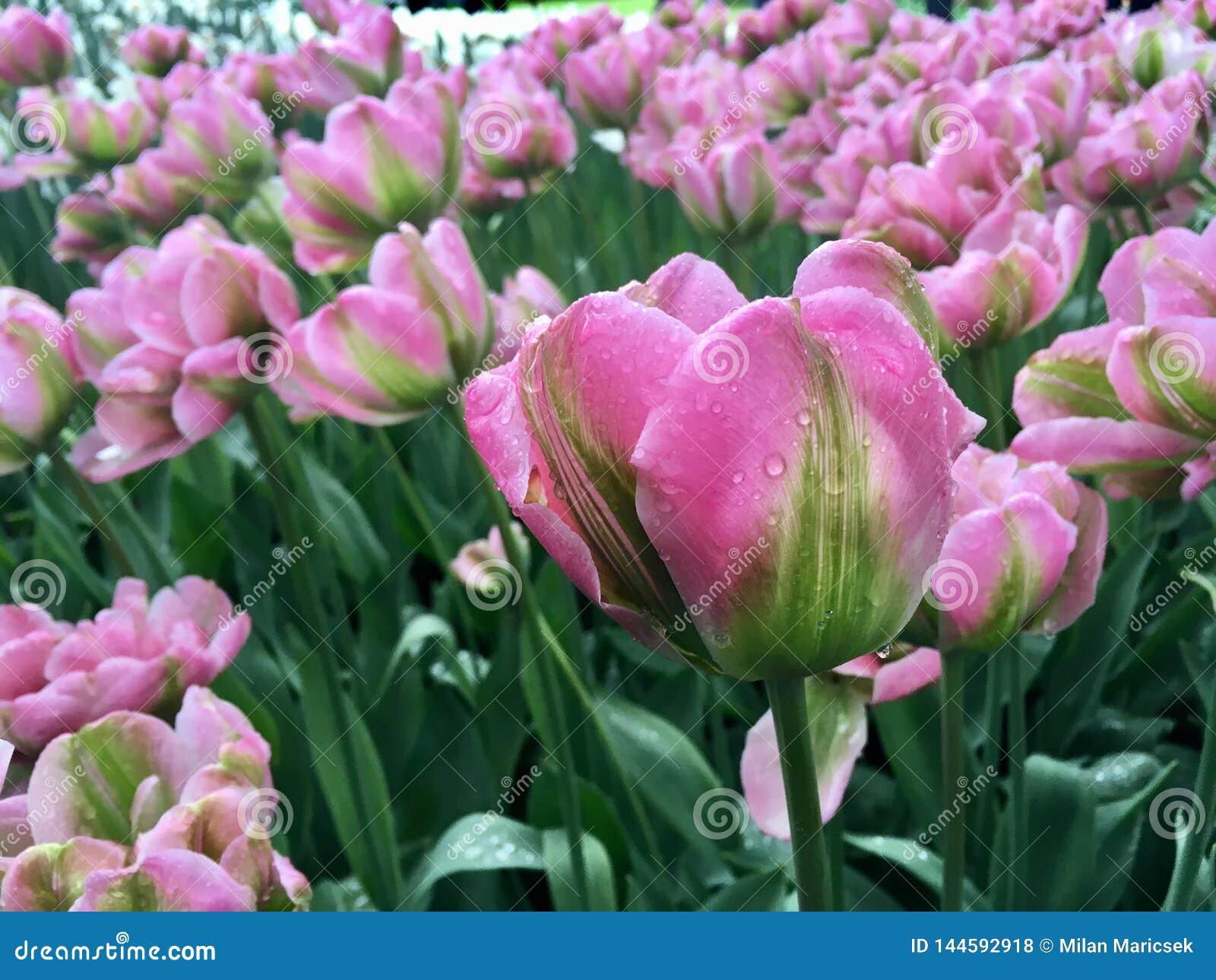 Tulpen met regendruppel