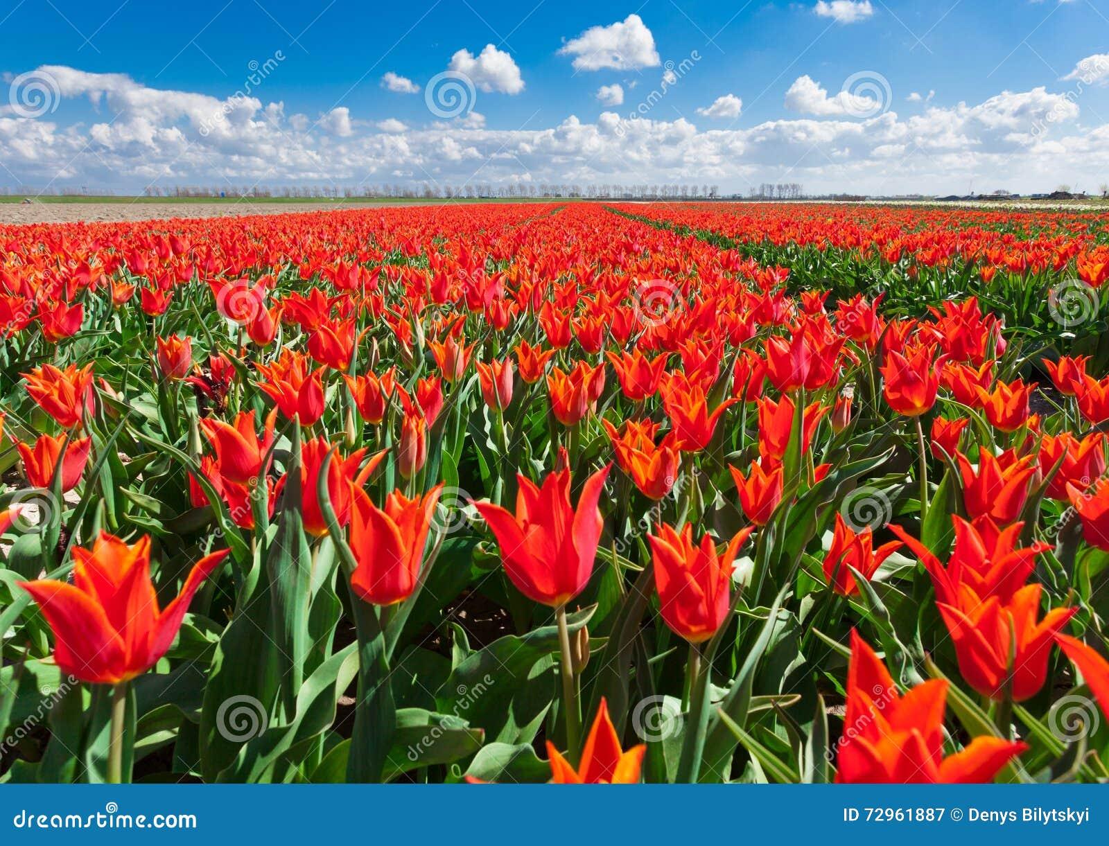 Tulpen Mooie kleurrijke rode bloemen in de ochtend in de lente, trillende bloemenachtergrond, bloemgebieden in Nederland