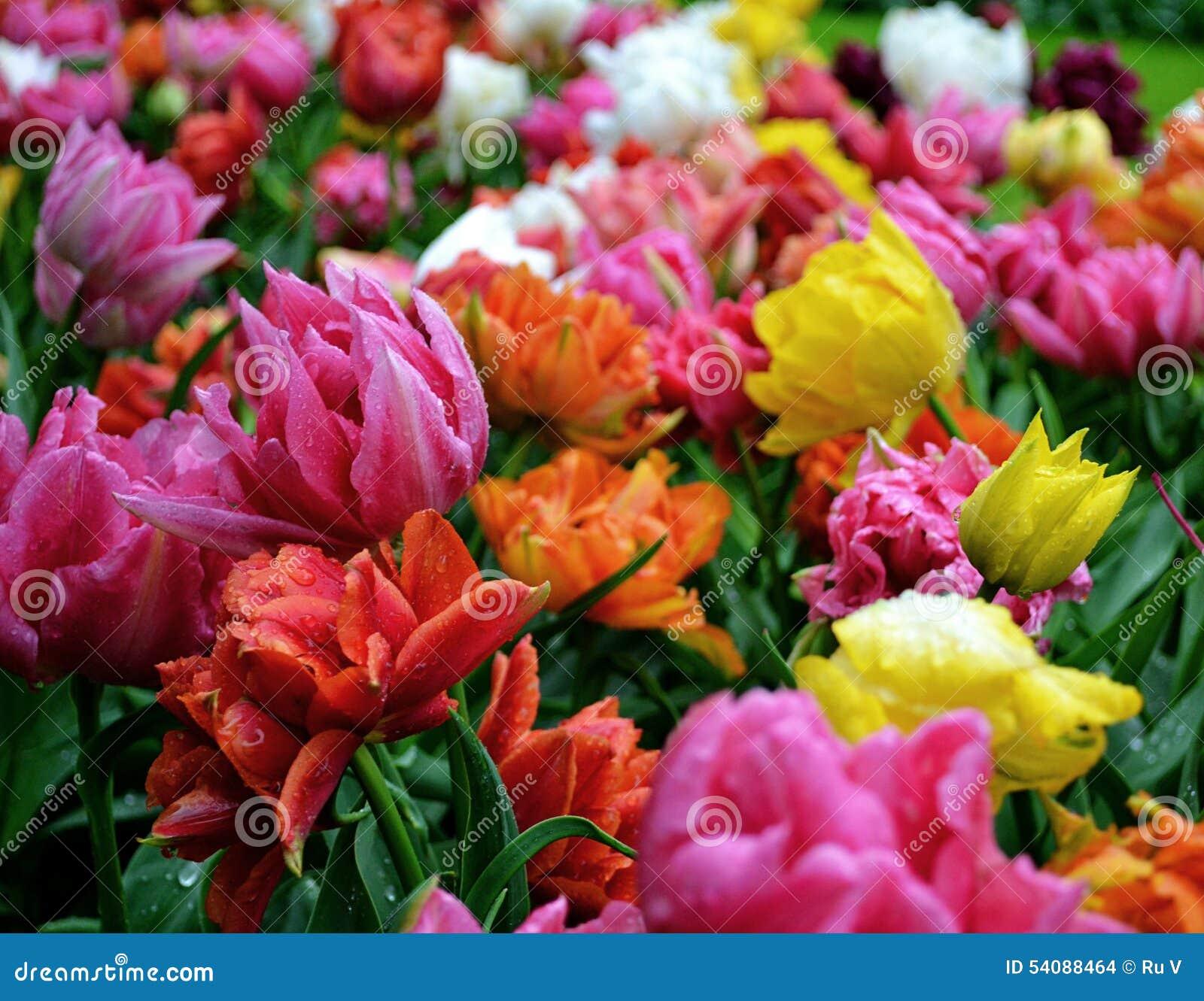 Tulpen na de regen