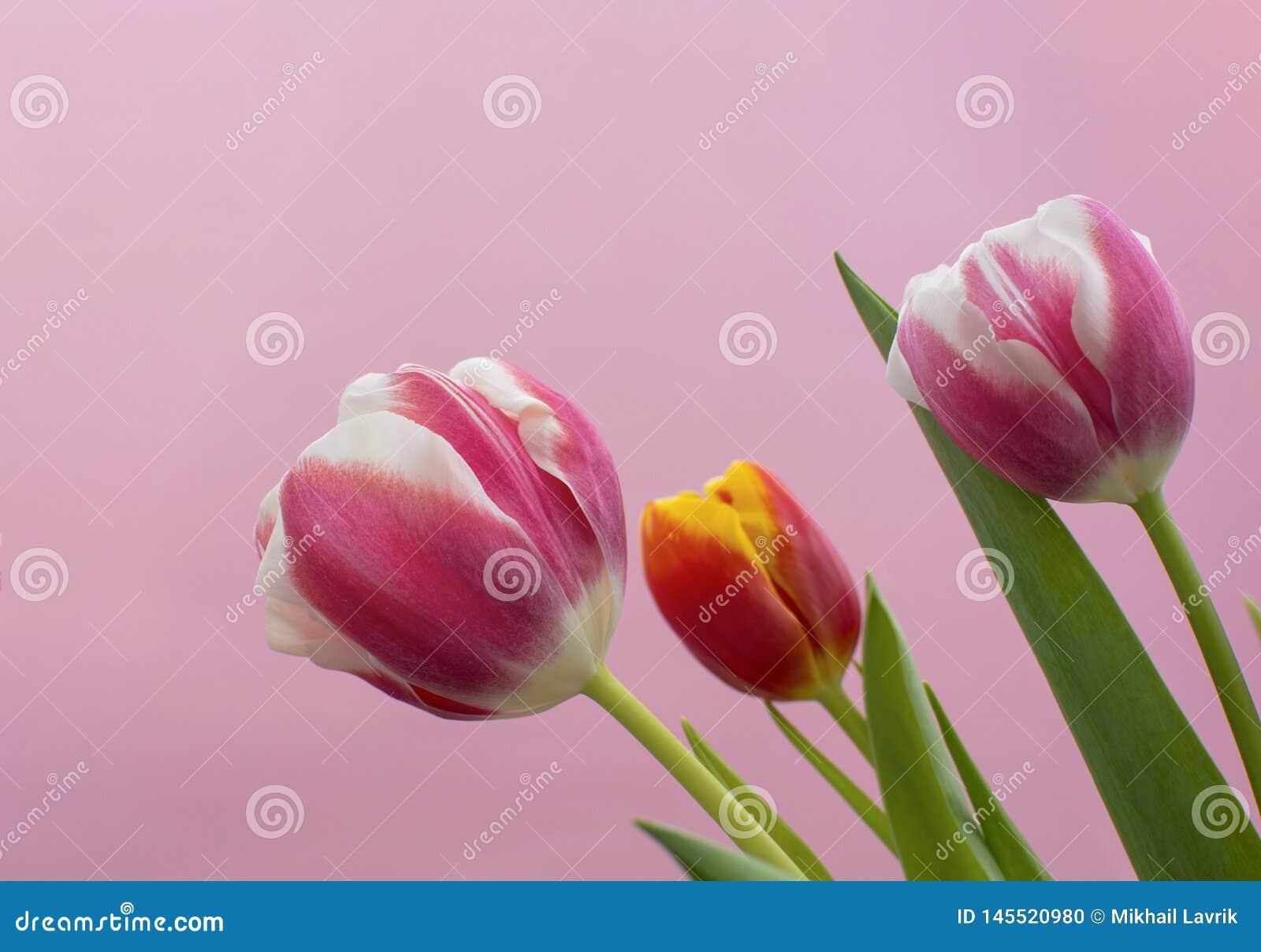 Tulpen op roze achtergrond