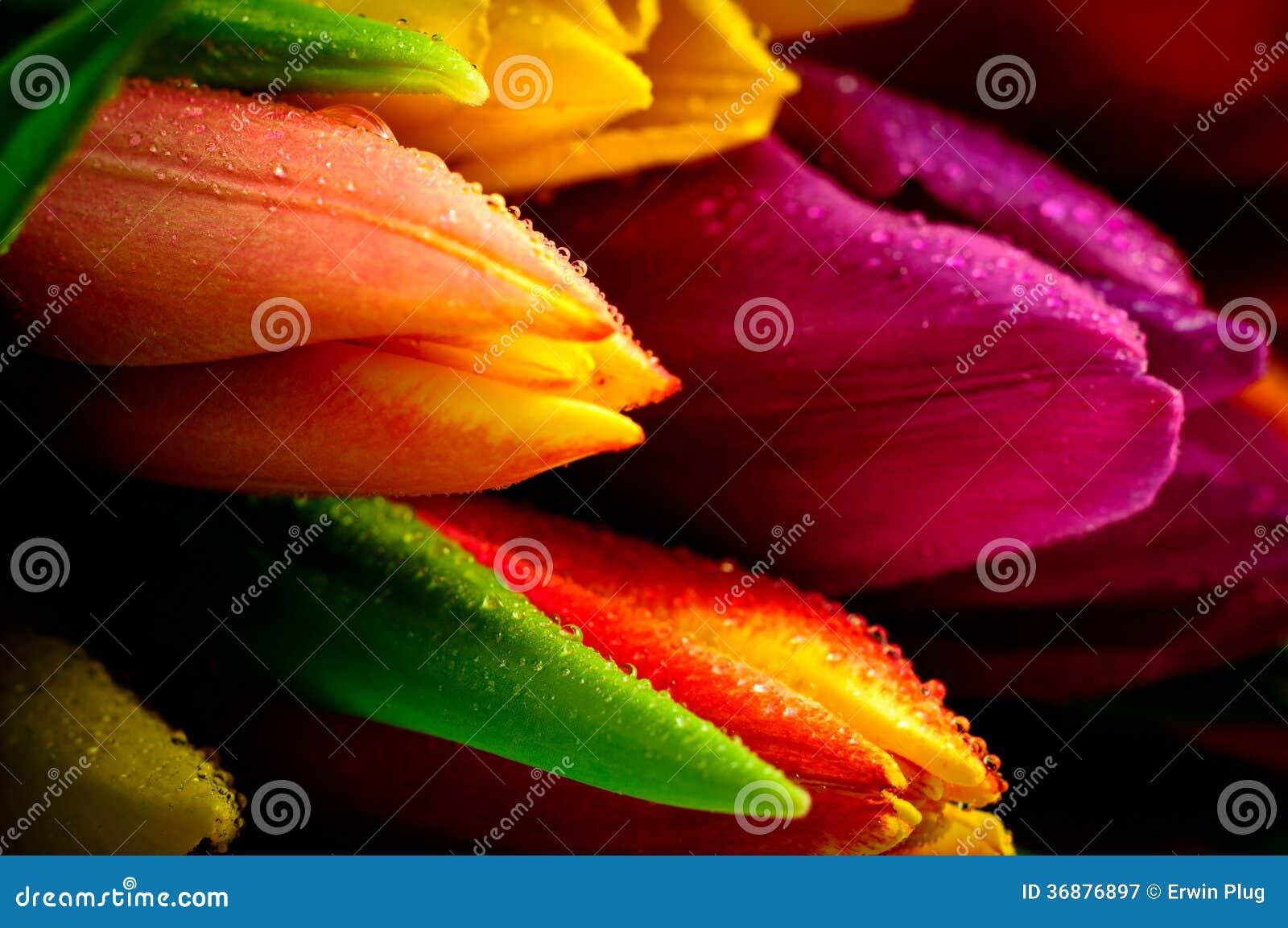 Tulpen-Regenbogen-Mischbündel-Nahaufnahme Waterdrops naß