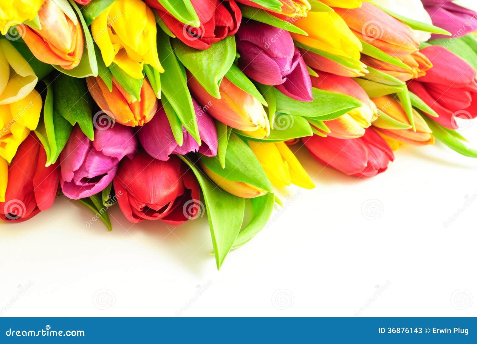 Tulpen-Regenbogen-Mischbündel-oberster weißer Hintergrund