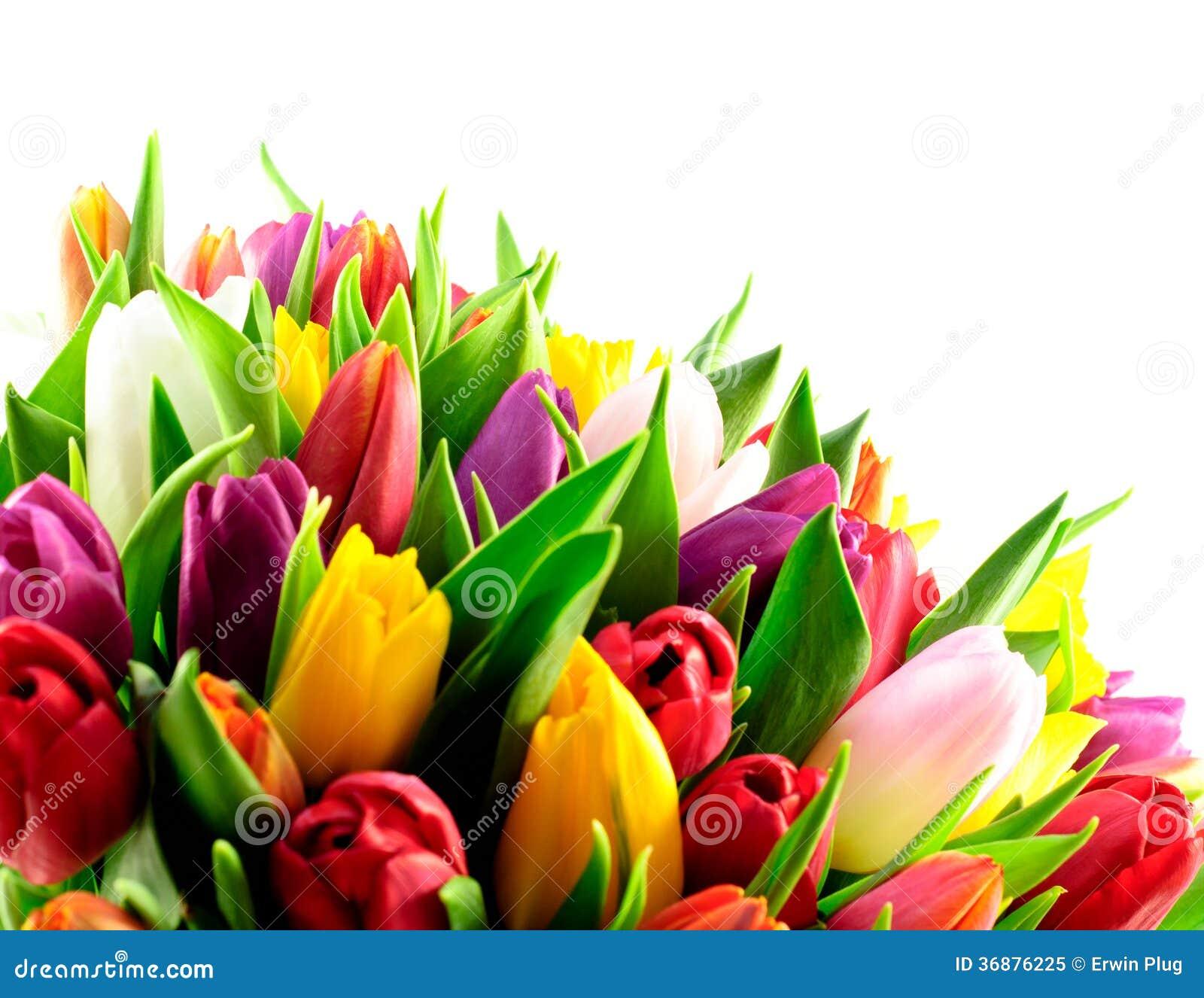 Tulpen-Regenbogen-Mischbündel-Unterseiten-Weiß-Hintergrund