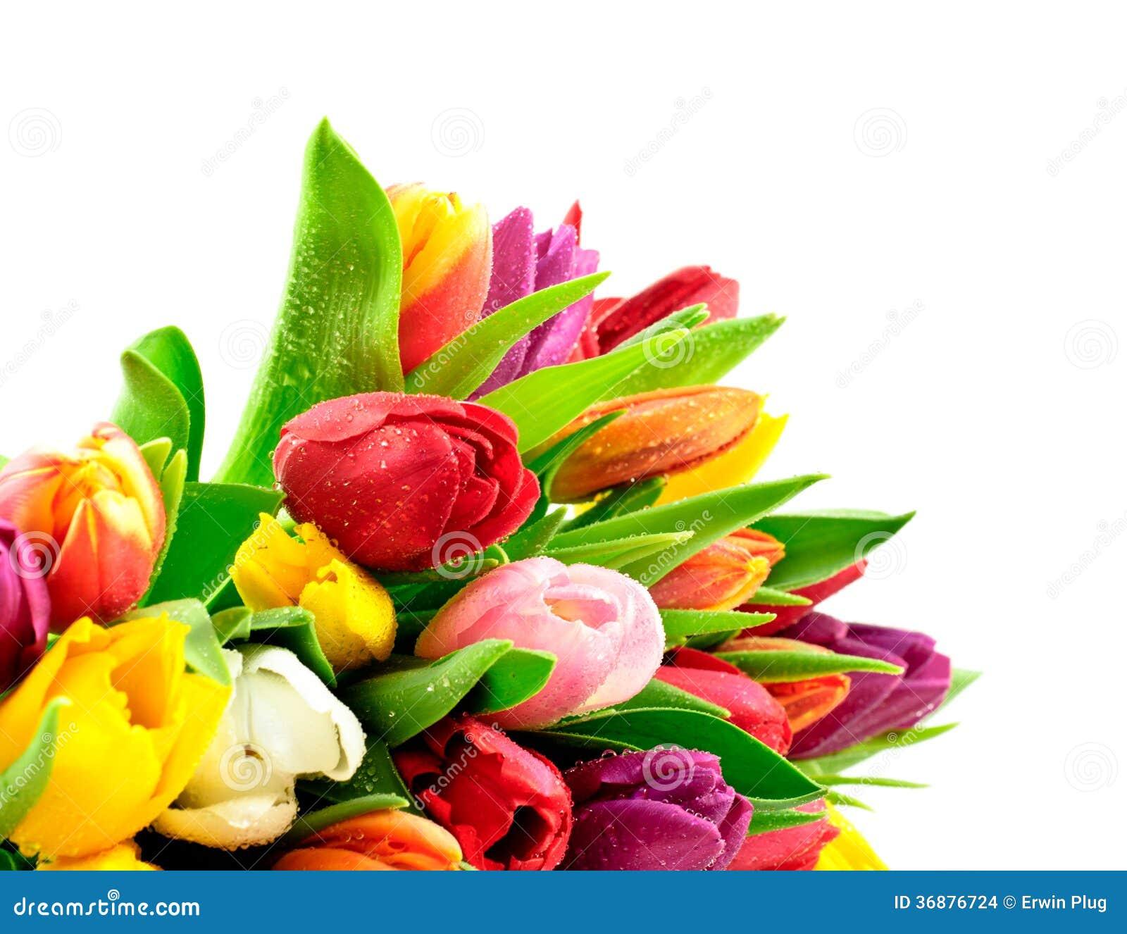 Tulpen-Regenbogen-Mischbündel Waterdrops naß