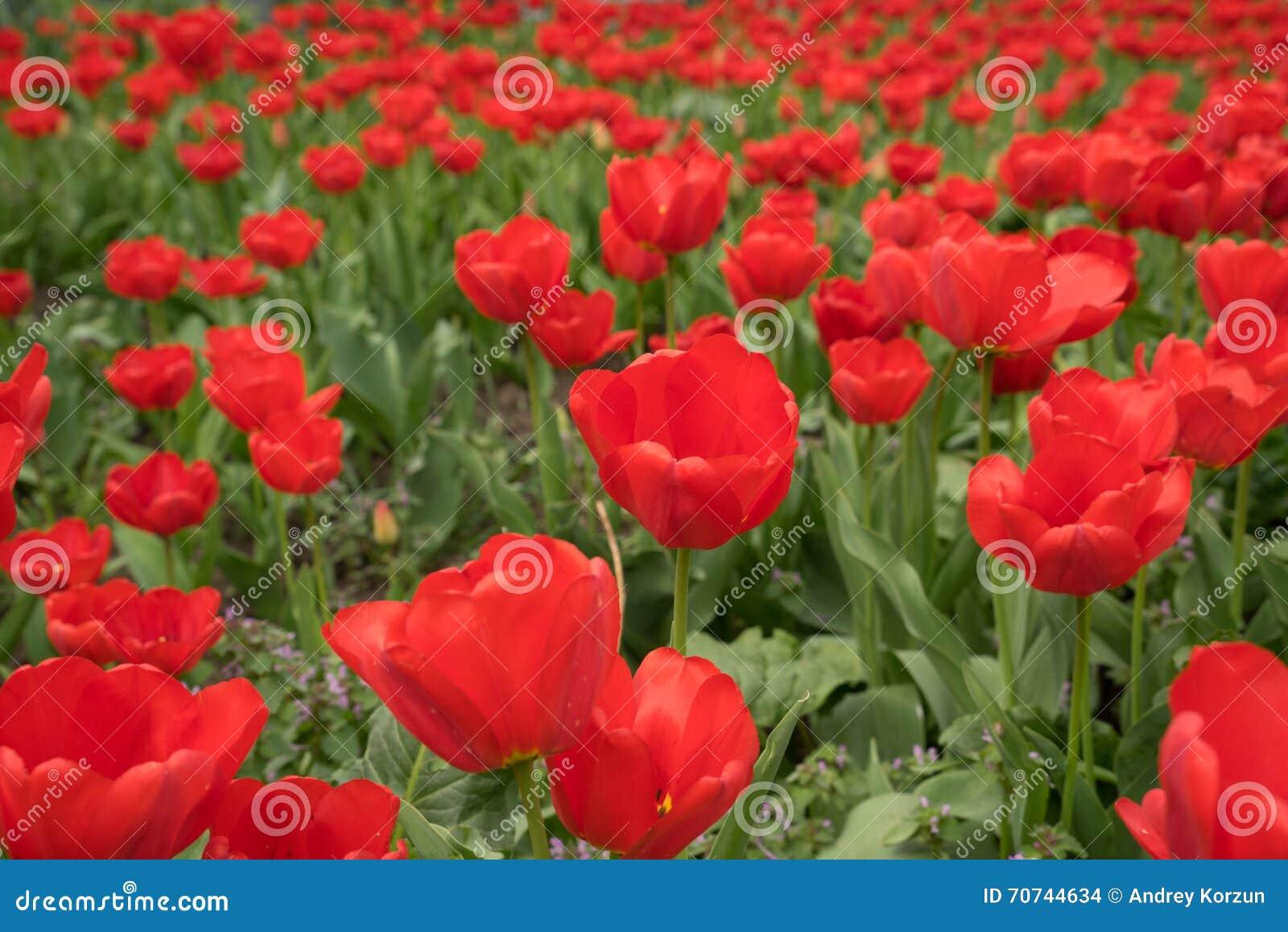 Blumen Fur Den Garten Tulpen ? Sarakane.info Tulpen Im Garten Tipps Rund Um Die Pflege Fur Die Fruhlingsblumen