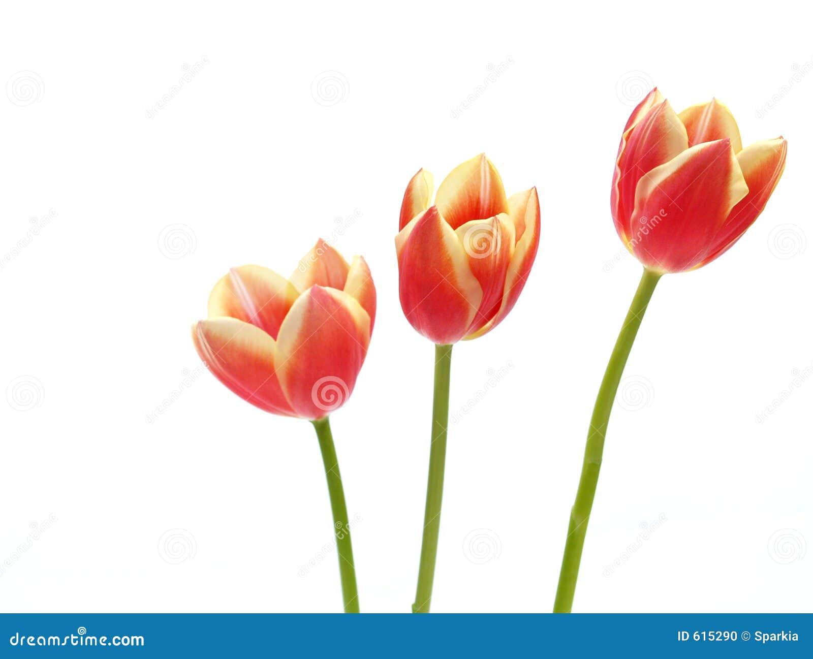 Tulpen - tulipagesneriana