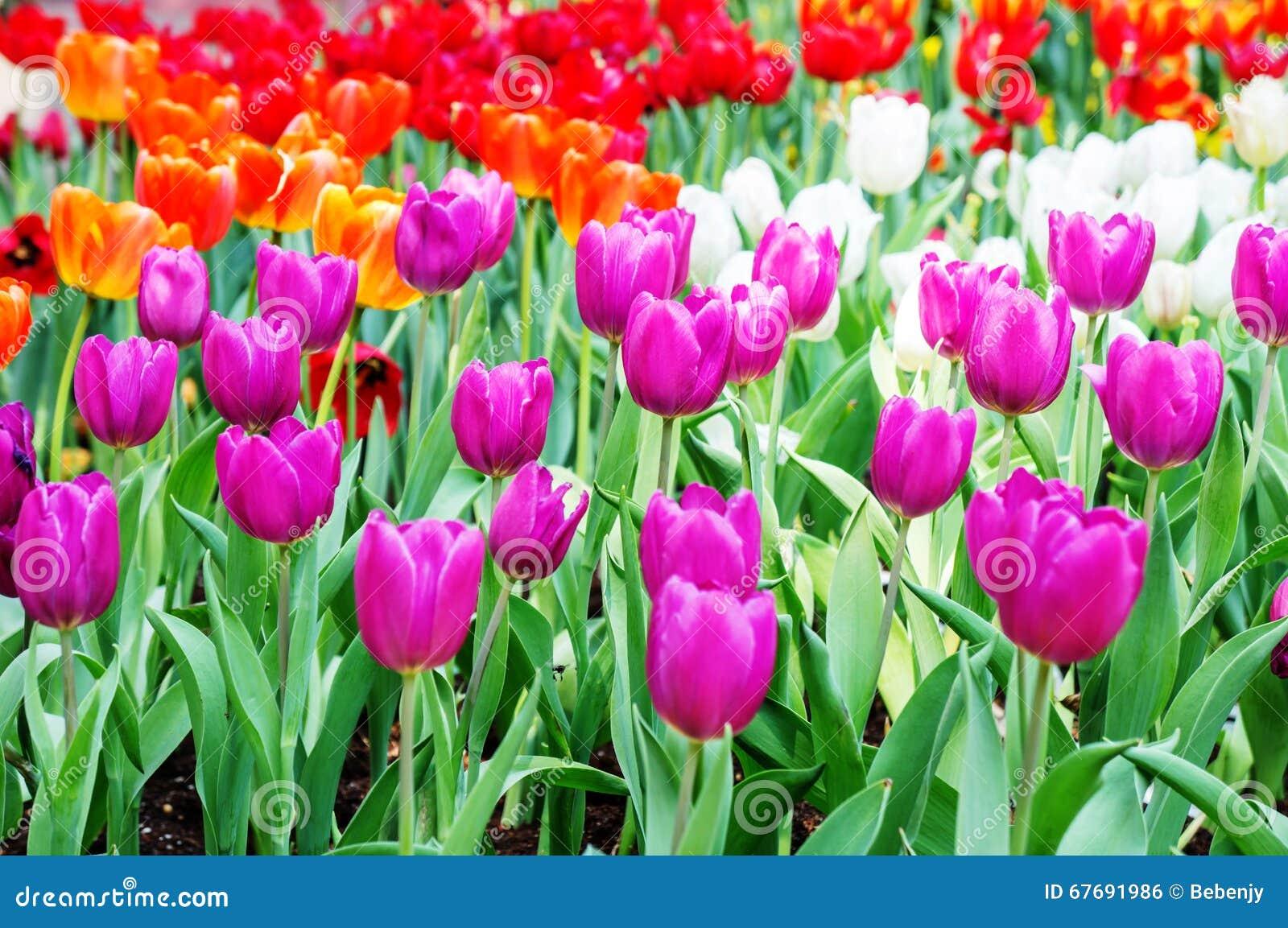 Tulpenbloem fie