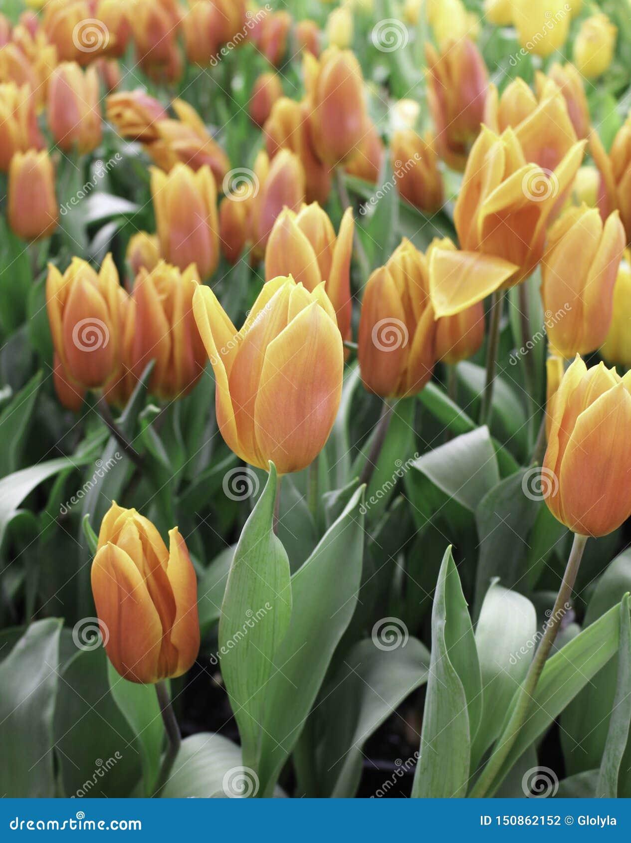 Tulpenbloem met groen blad