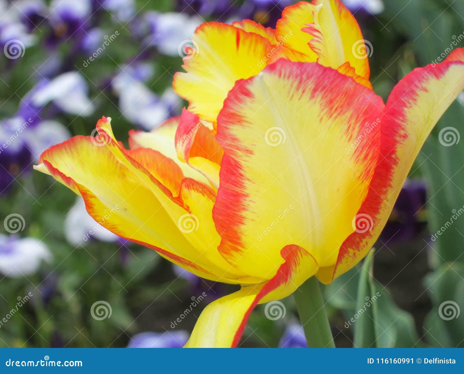 Tulpenbloem - Voorraadfoto s