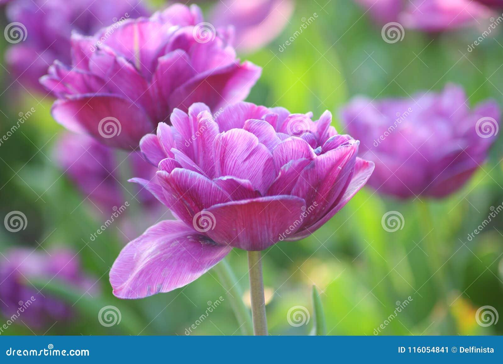 Tulpenbloemen - Voorraadfoto s