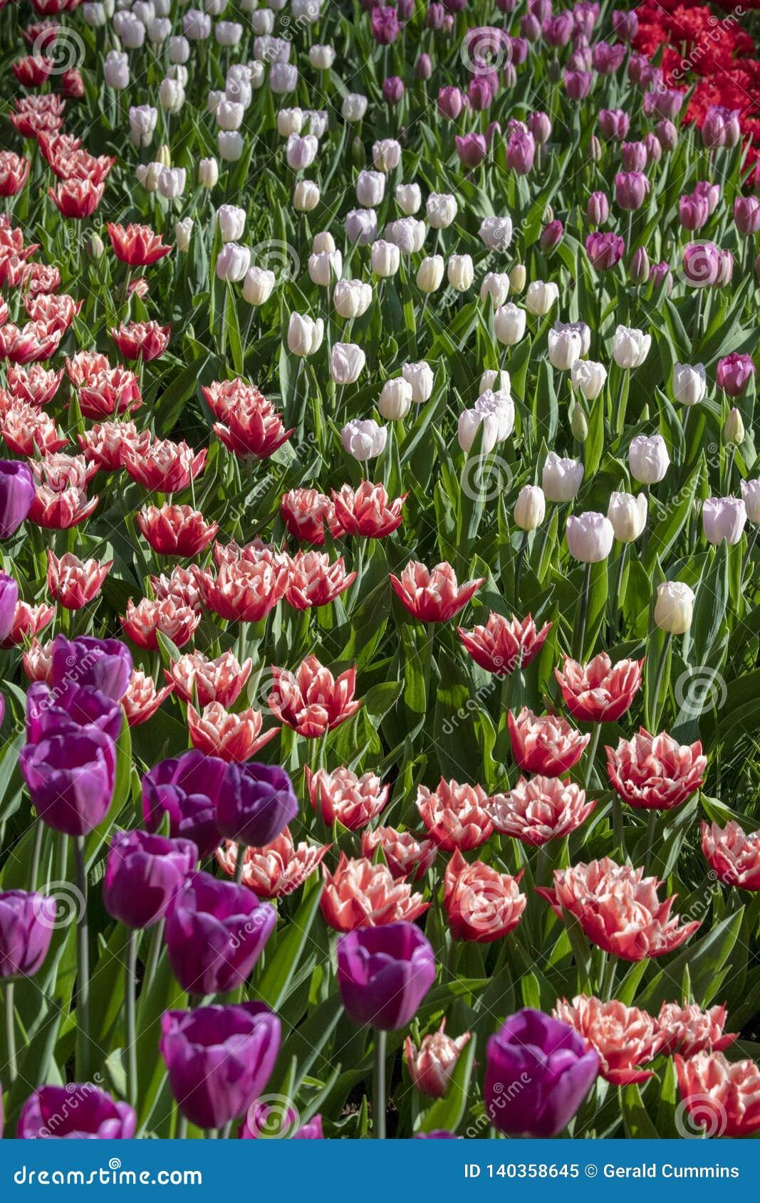 Tulpenblumen, krautartiges palnt bloomin im Frühjahr