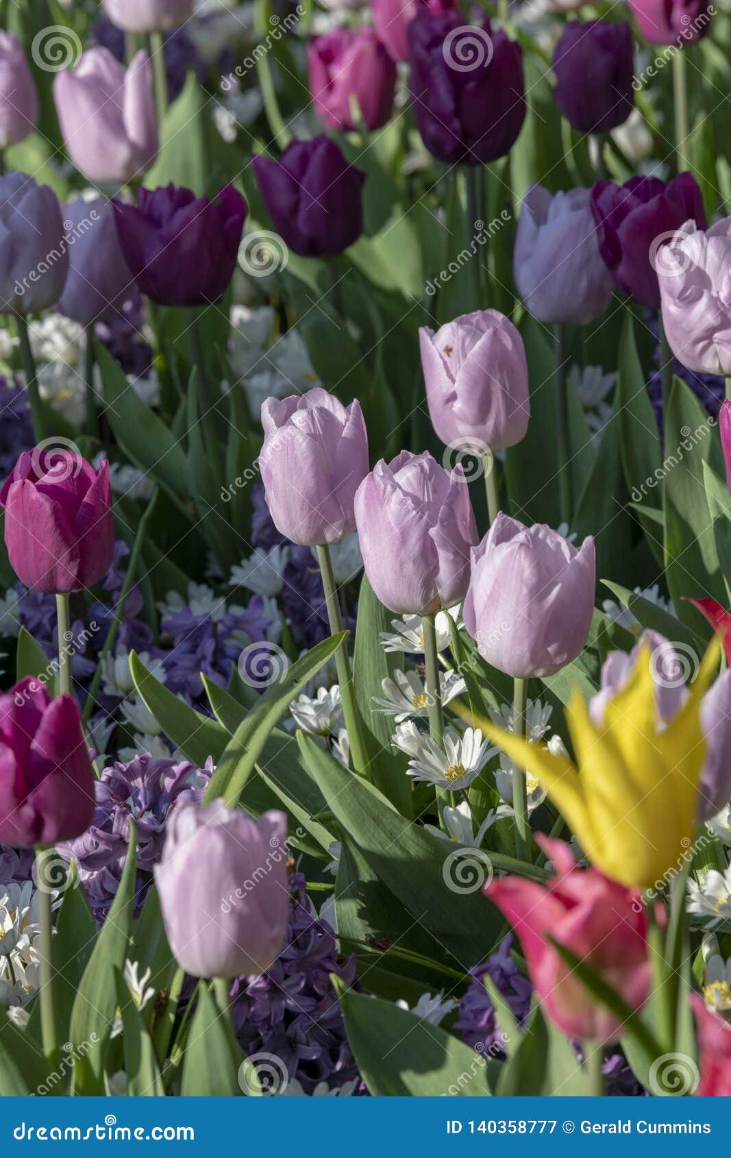 Tulpenblumen mit Stämmen Frühlingsblühende pflanzen