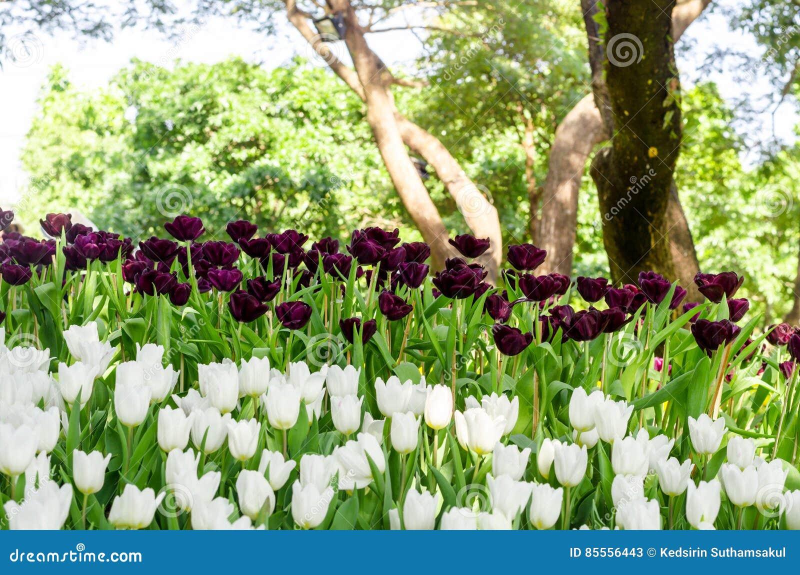 Tulpenblumenfeld