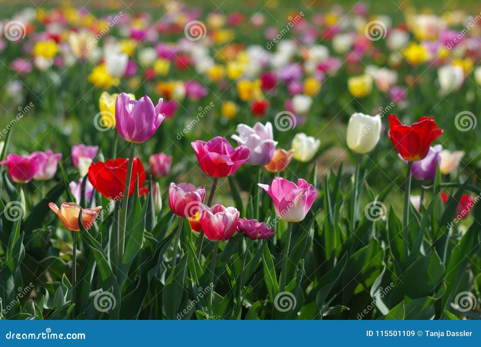 Tulpenfeld Stock Image Image Of Garden Blumen April 115501109