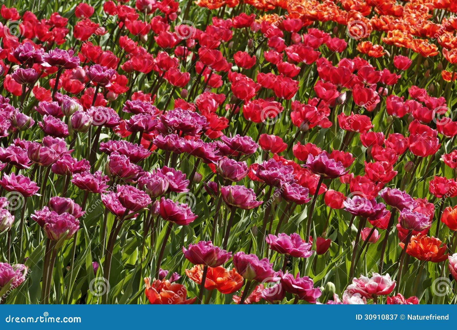 tulpenmischung mit den roten und rosa blumen lizenzfreie stockfotografie bild 30910837. Black Bedroom Furniture Sets. Home Design Ideas