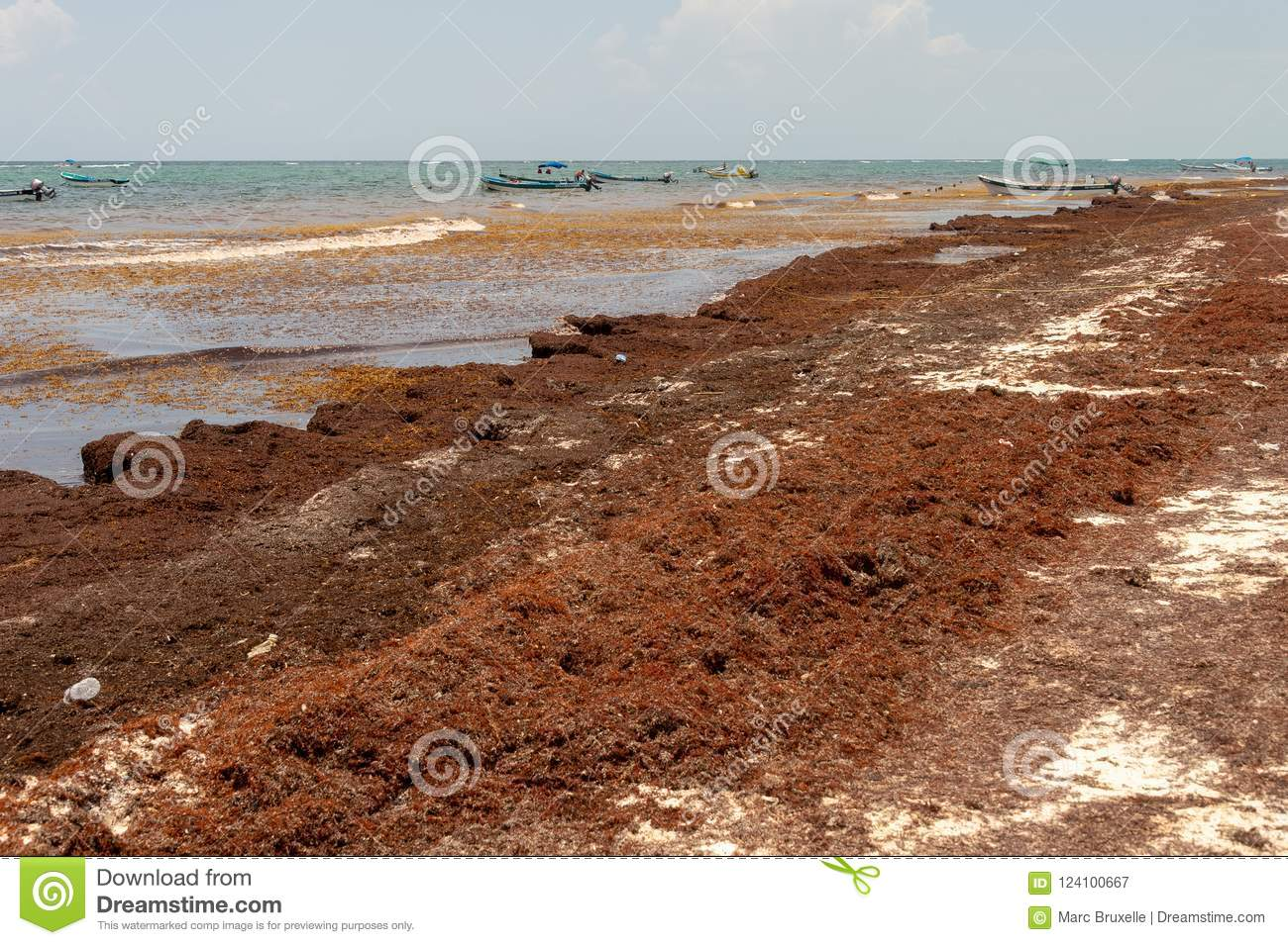 Patches Of Sargassum Seaweed At Tulum Beach  Editorial Photography