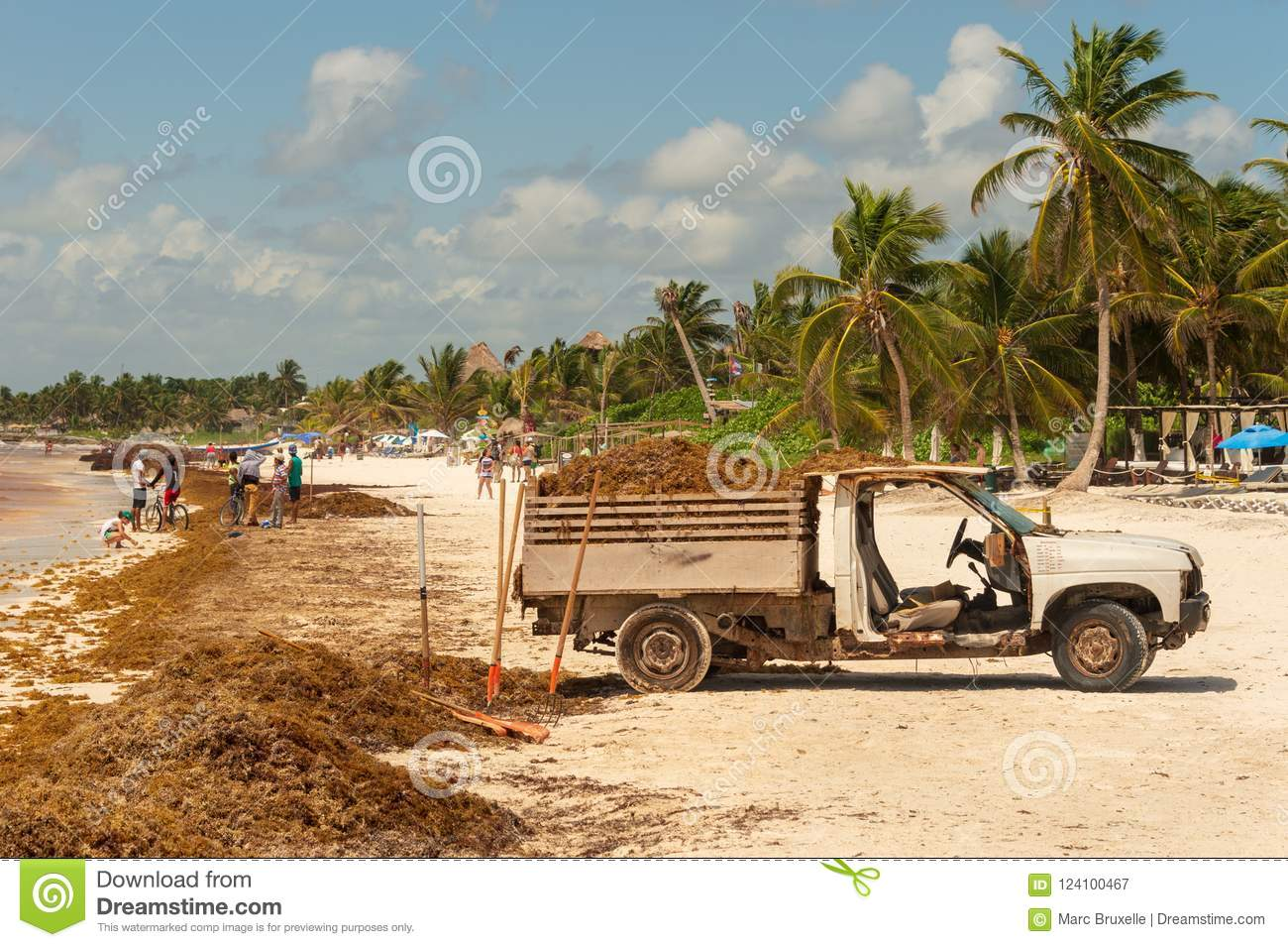 Truck Loaded With Sargassum Seaweed At Playa Paraiso  Editorial