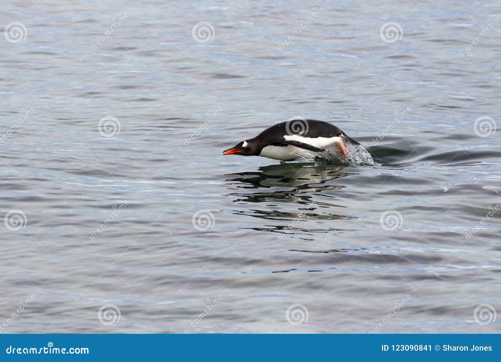 Tumlare för en Gentoo pingvin i vattnet av den antarktiska halvön