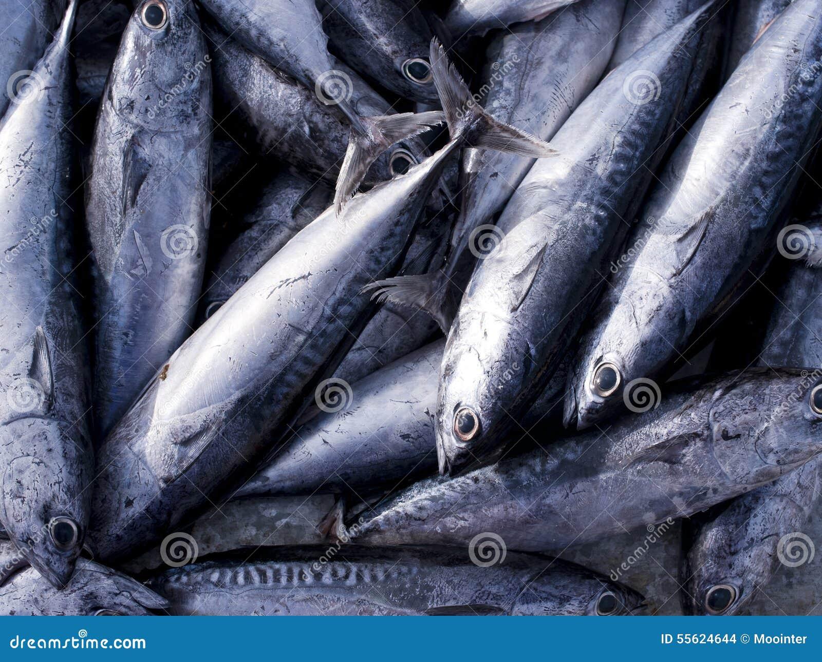 Eastern little tuna - photo#51