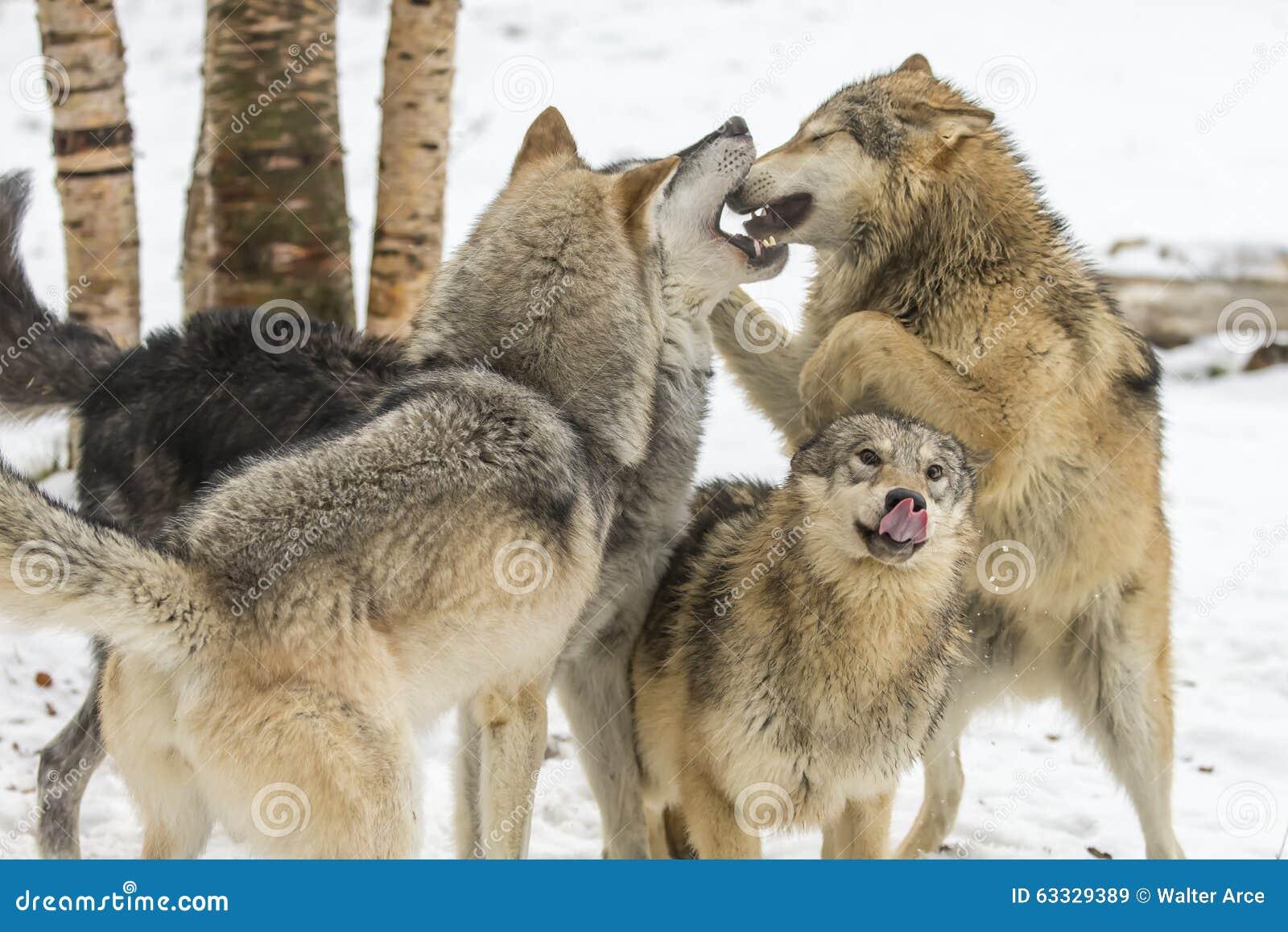 Tundra λύκοι