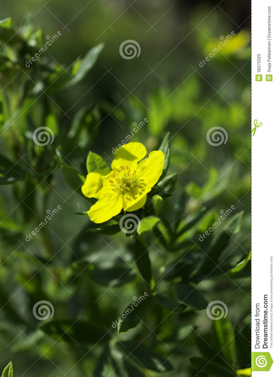 Tundra Rose Stock Image Image Of Rose Small Arctic 36075023
