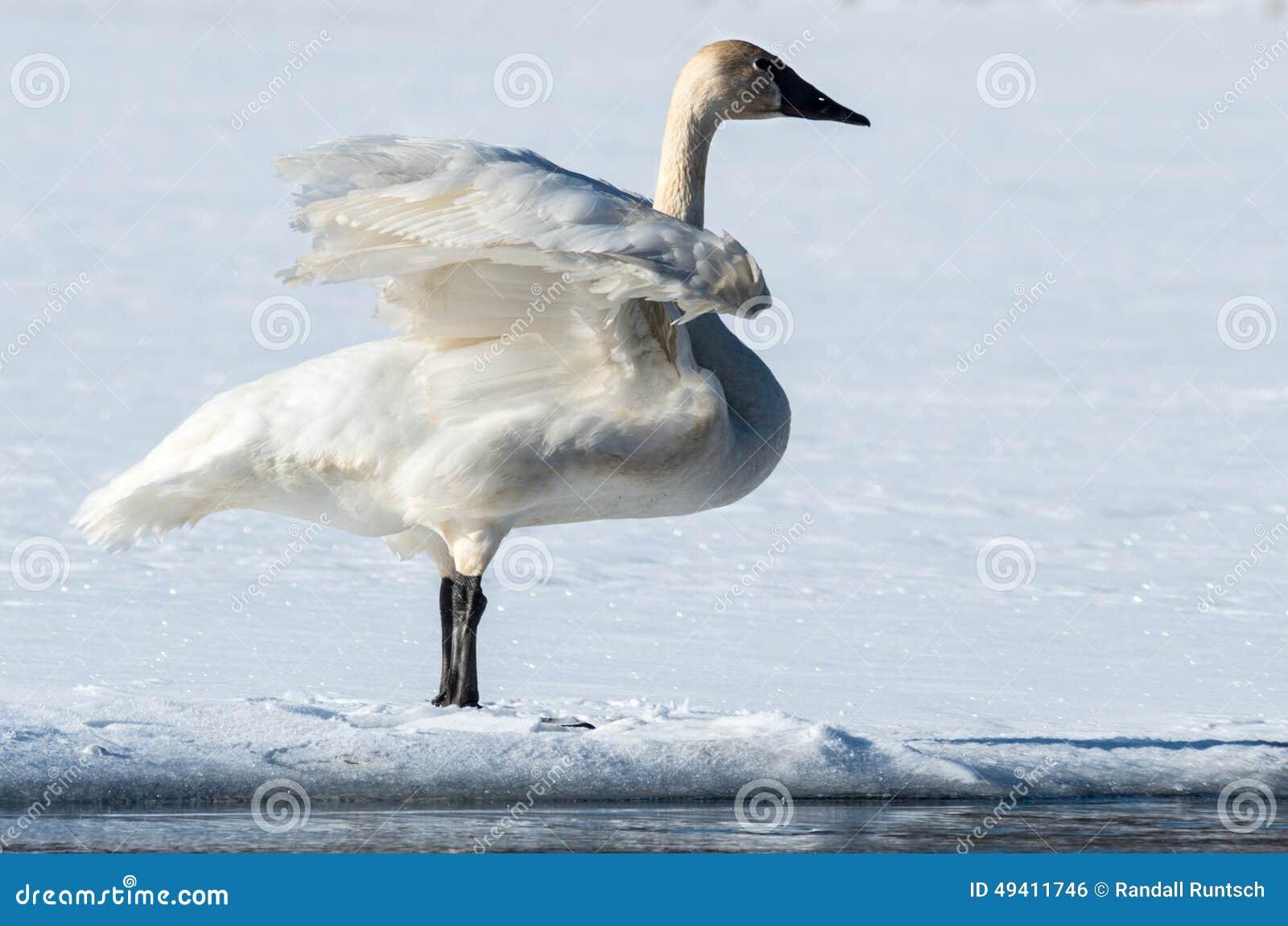Download Tundra-Schwan Flattert Seine Flügel Stockfoto - Bild von management, flügel: 49411746