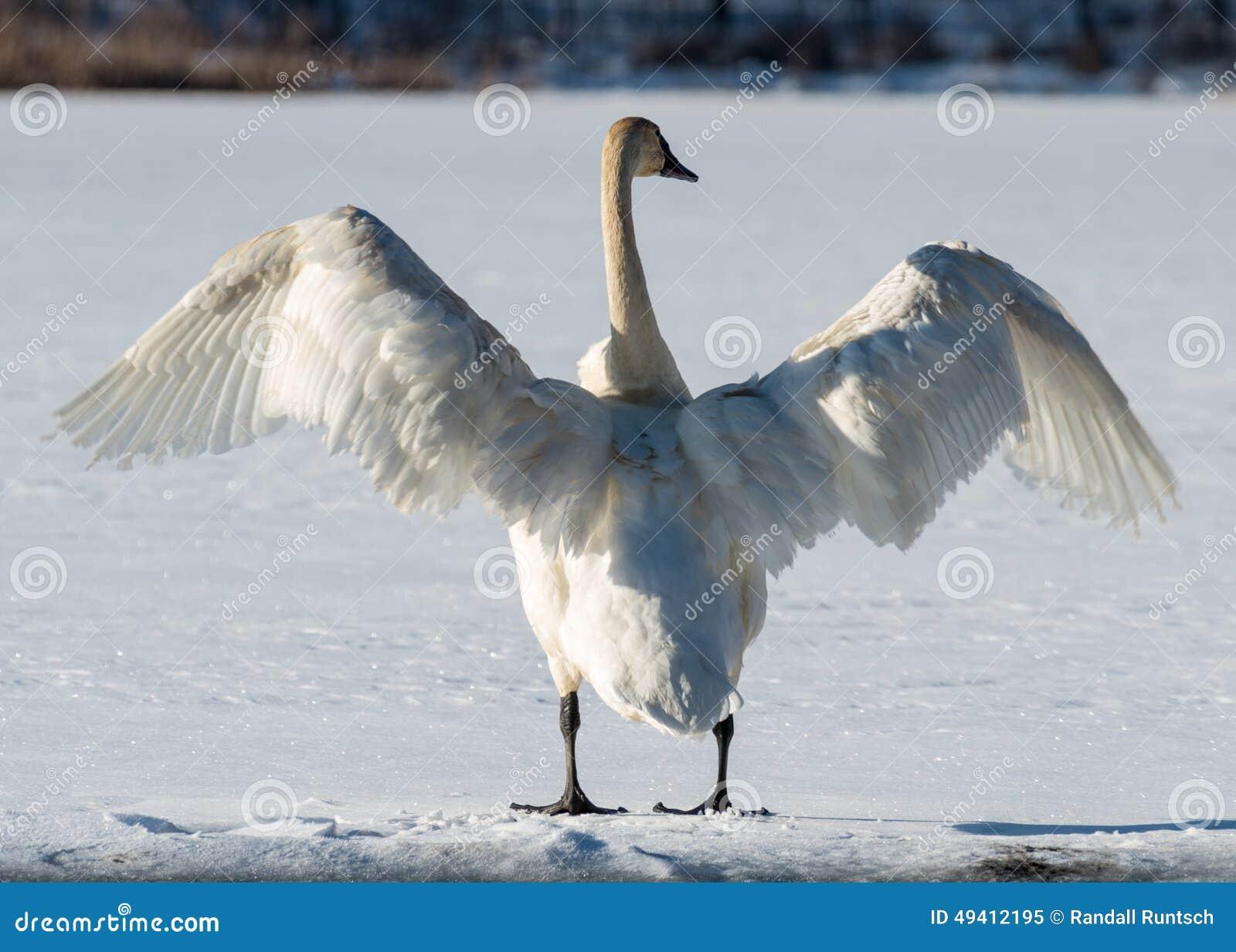 Download Tundra-Schwan Verbreitet Seine Flügel Stockbild - Bild von management, weiß: 49412195