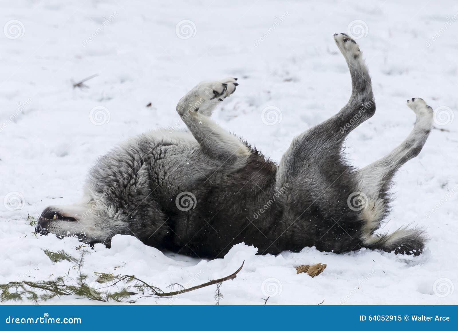 Tundrowi wilki