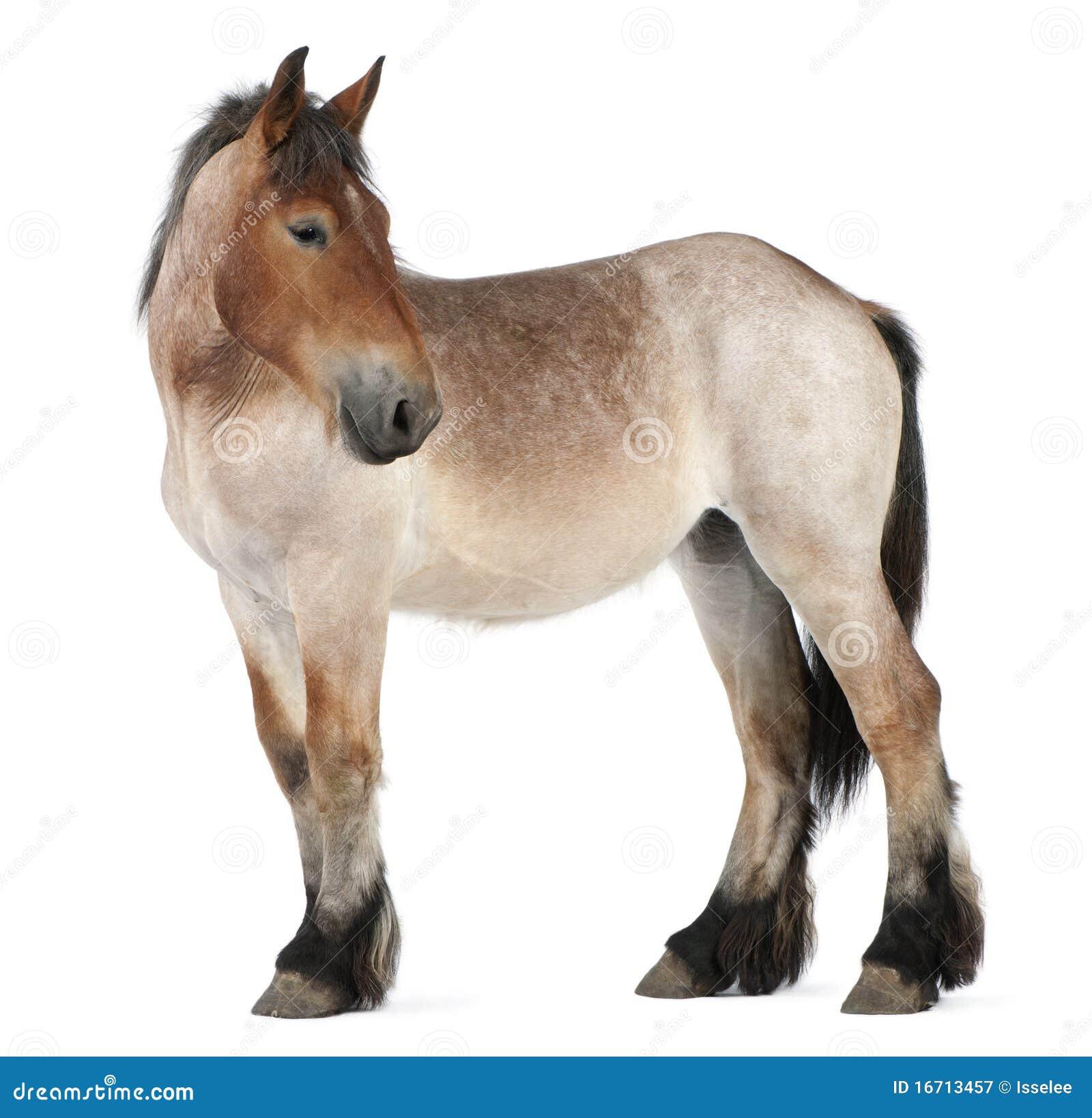 Tung häst för belgiskt brabanconföl
