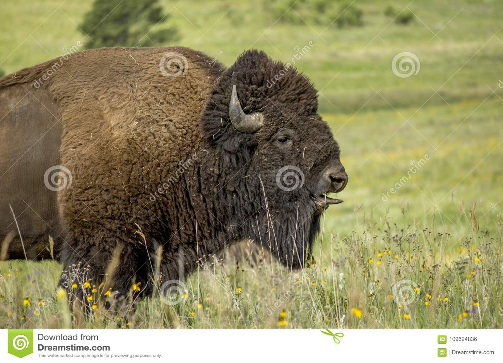 Tunga för bison` s
