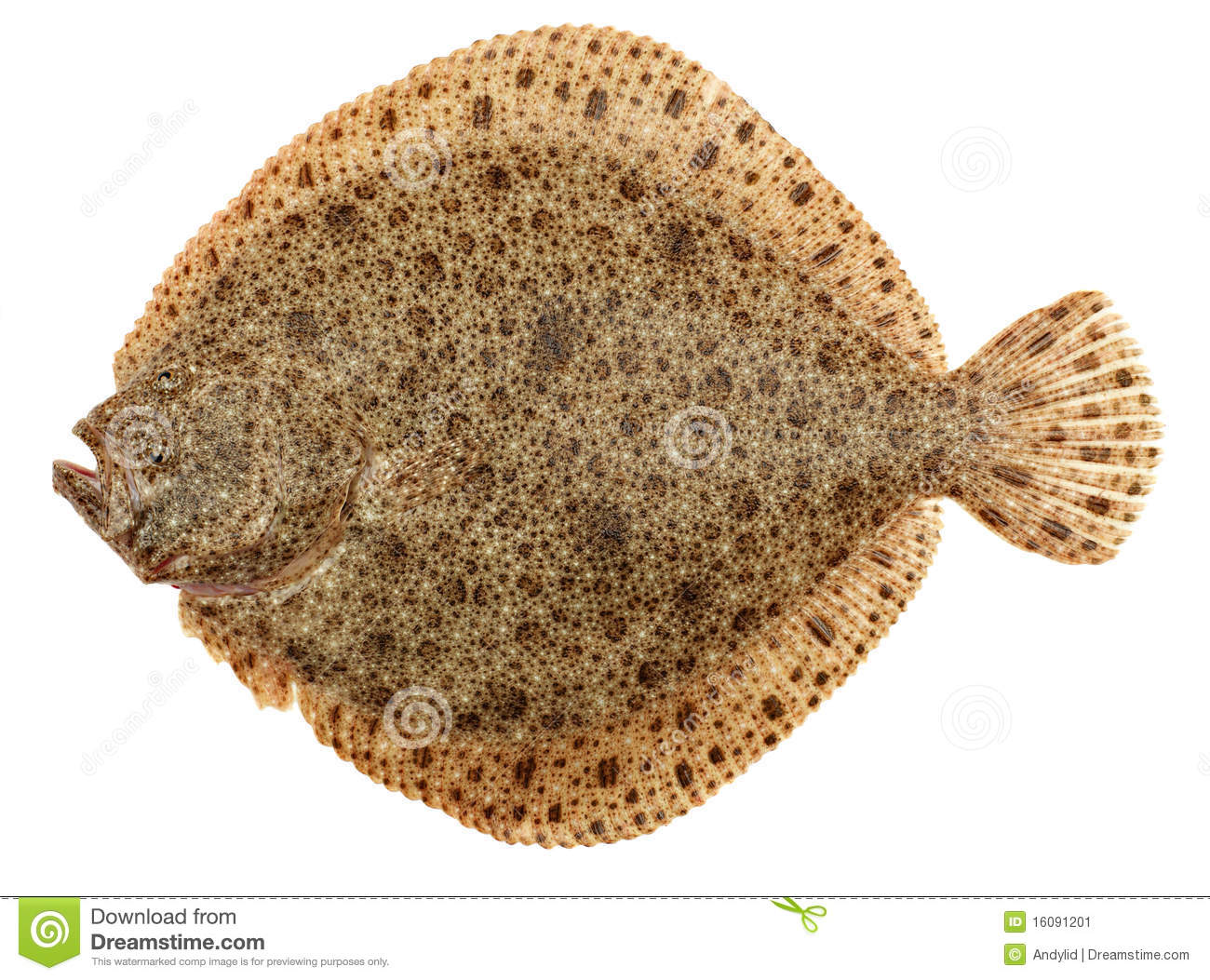 Freshly Caught Turbot (Psetta maxima) Isolated on White Background.