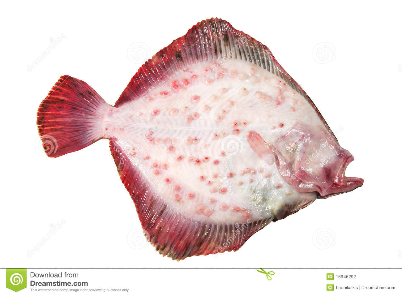 Turbot fish stock photo image of reversed food isolated for Turbot fish price