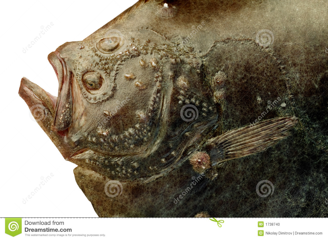 Turbot fish stock photo image 1738740 for Turbot fish price