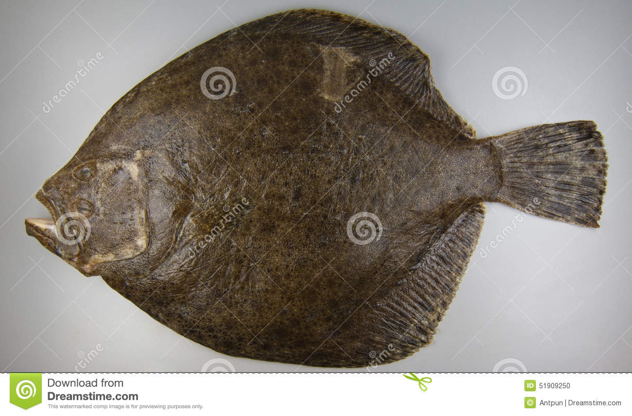 Turbot on grey background fish stock photo image 51909250 for Turbot fish price