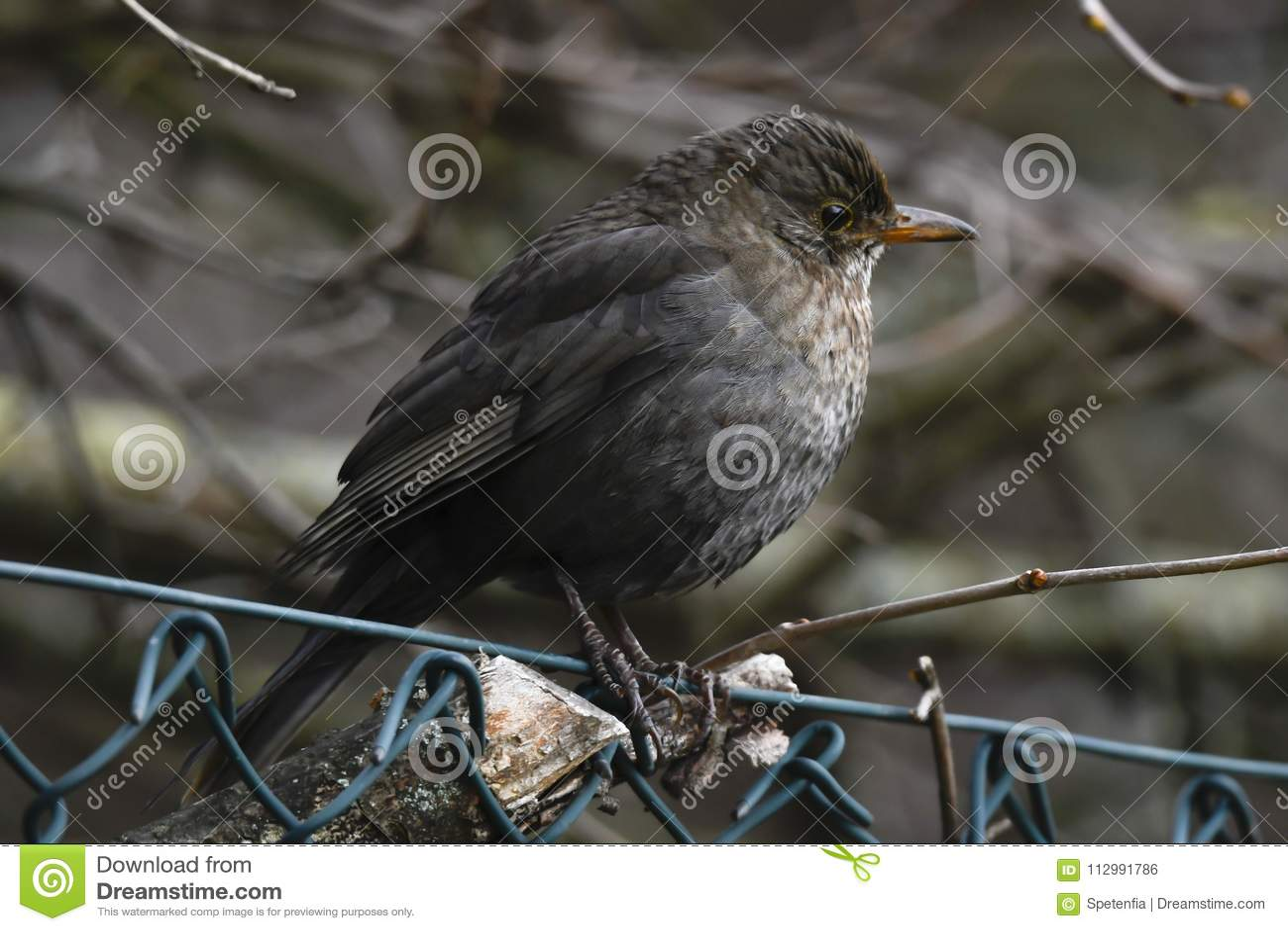 Turdus merula common blackbird female